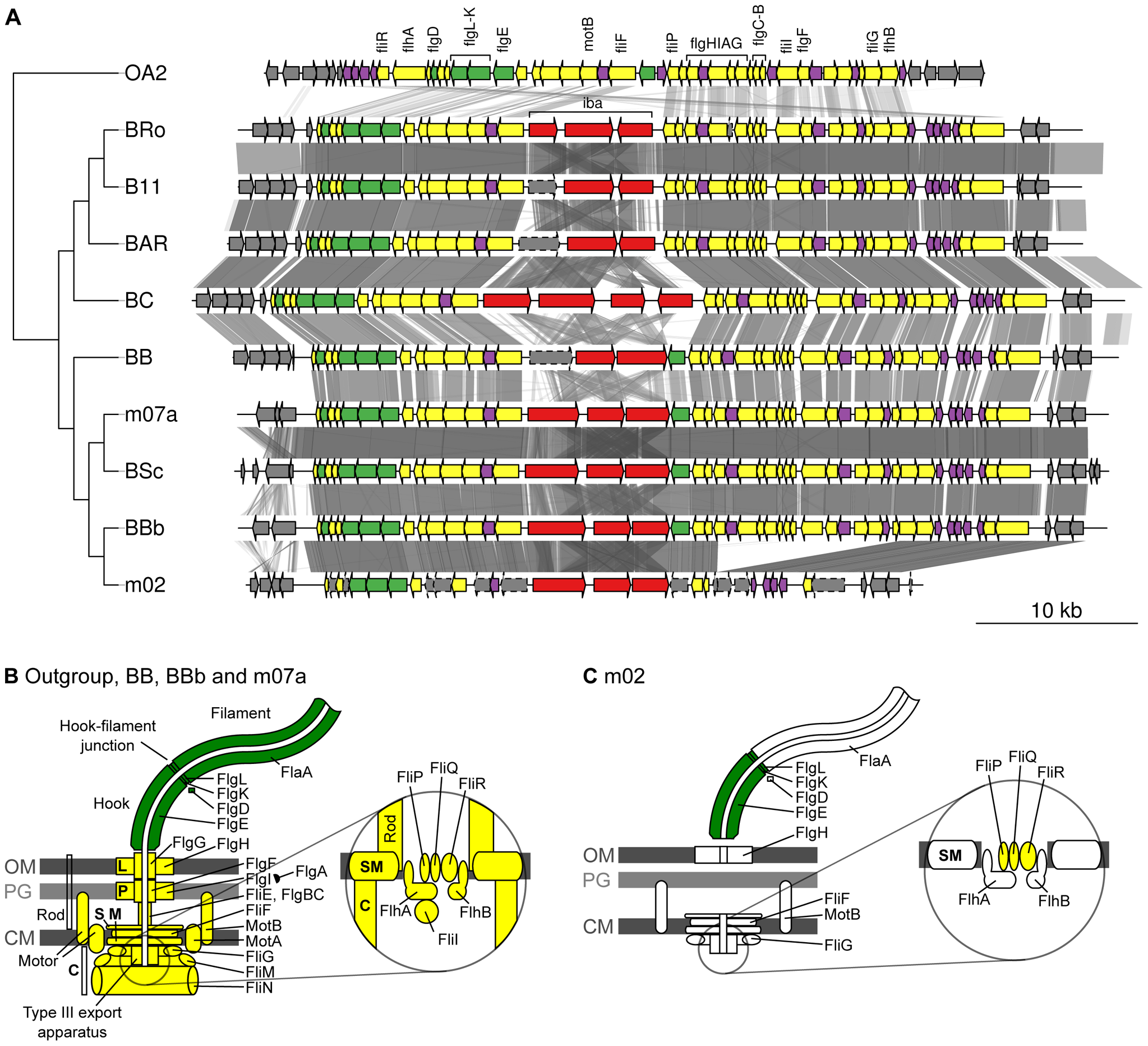 Gene order structures of the segment encoding the flagellum.