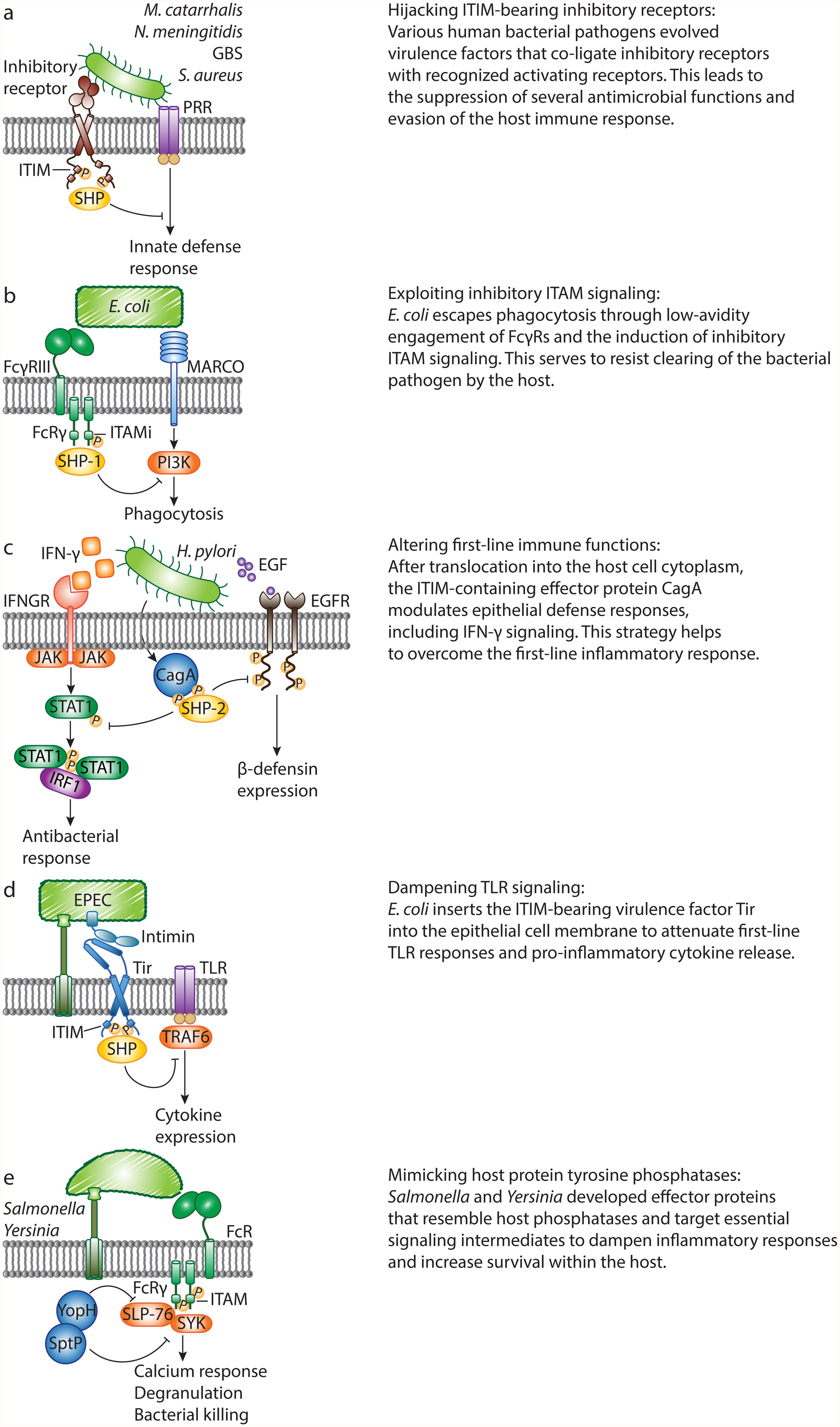 Bacterial pathogens evade host defense responses by manipulating inhibitory signaling.