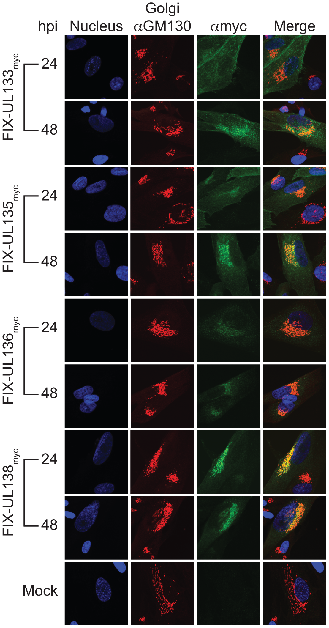pUL133, pUL135, and pUL136 localize to the Golgi apparatus.