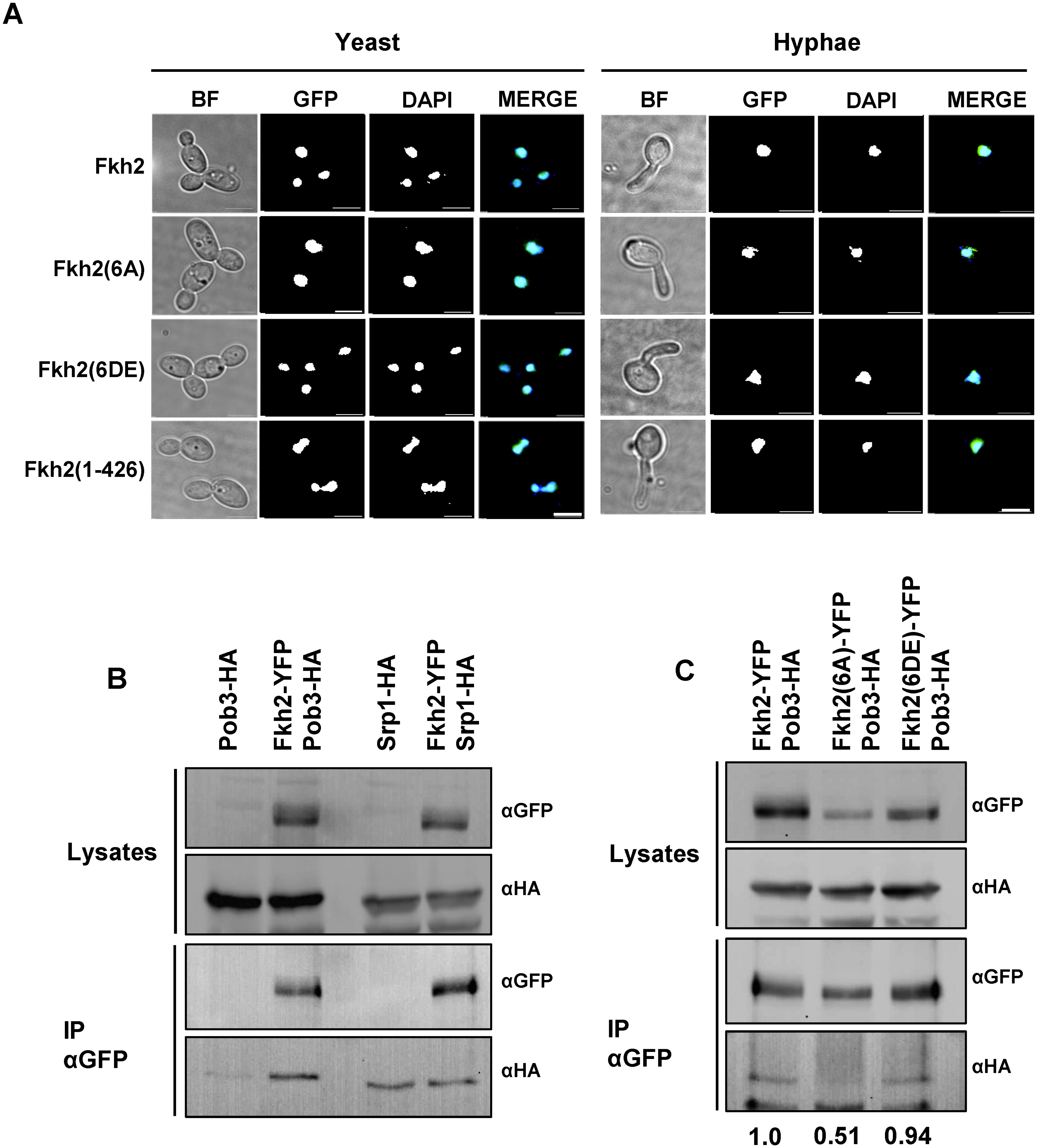 Phosphorylation of Fkh2 does not alter its localisation, but affects its interaction with the chromatin modifier Pob3.