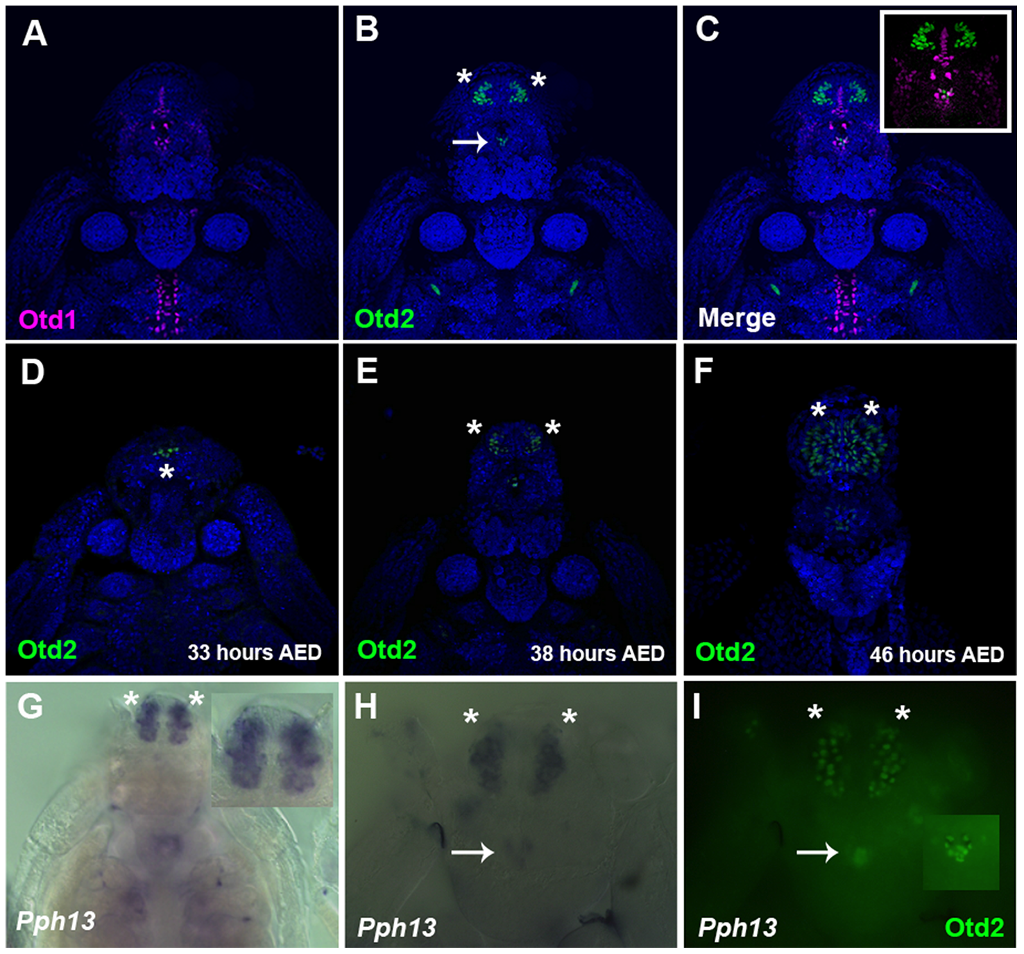 Spatial expression patterns of <i>Daphnia magna</i> Otd1, Otd2 and <i>Pph13</i> during <i>Daphnia</i> eye development.