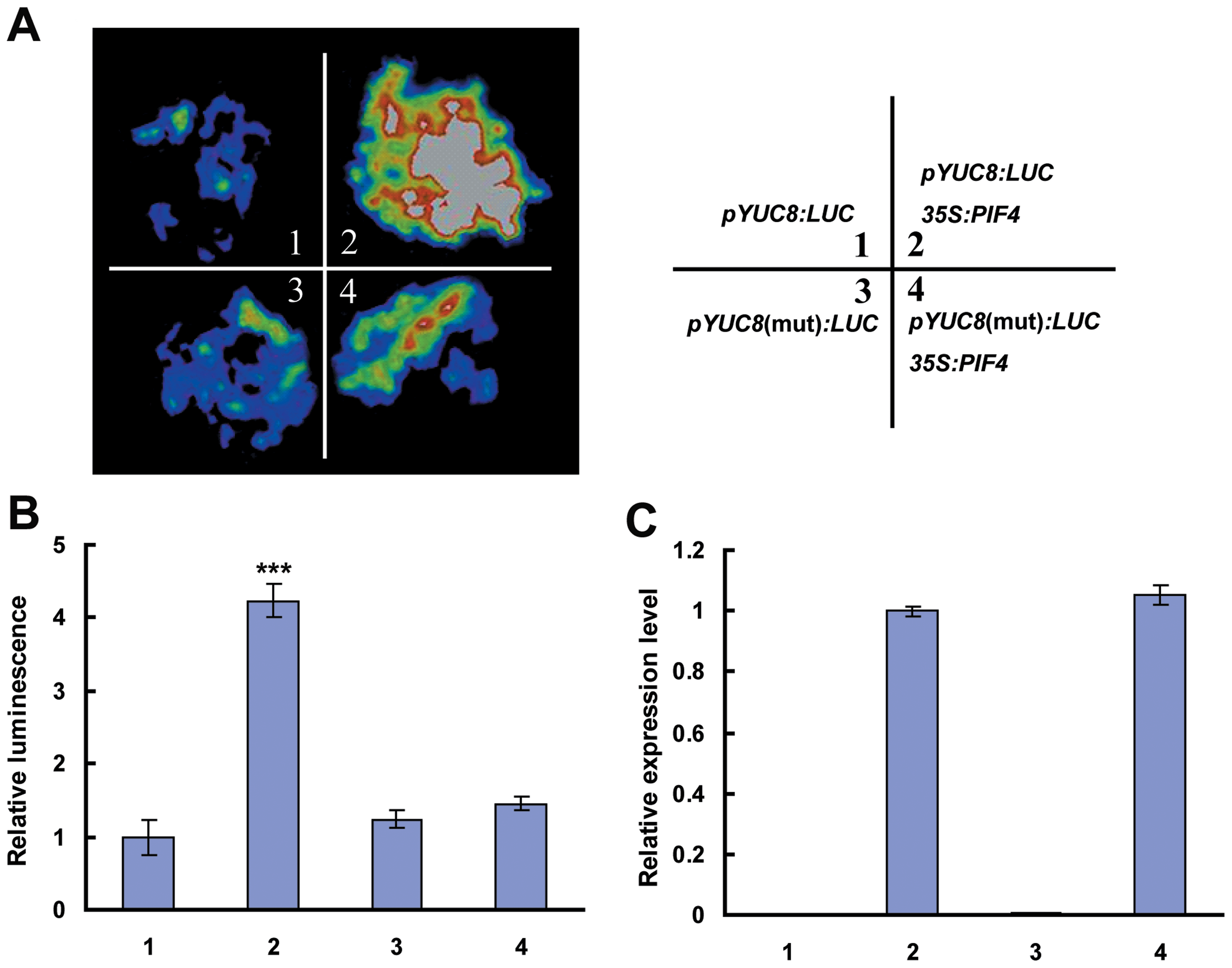 PIF4 Activates <i>YUC8</i> Expression, as Revealed by Transient Assays of <i>N. benthamiana</i> Leaves.