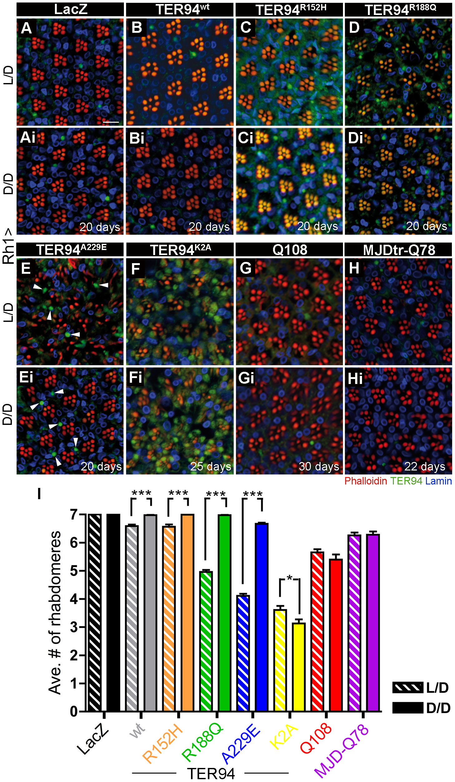 Neurodegeneration induced by pathogenic TER94 mutants can be suppressed under dark conditions.