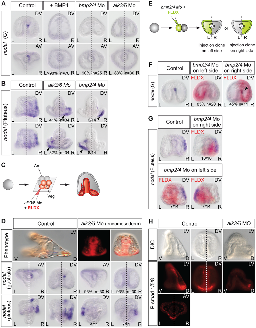 BMP signaling is required for <i>nodal</i> expression in the left-right organizer.