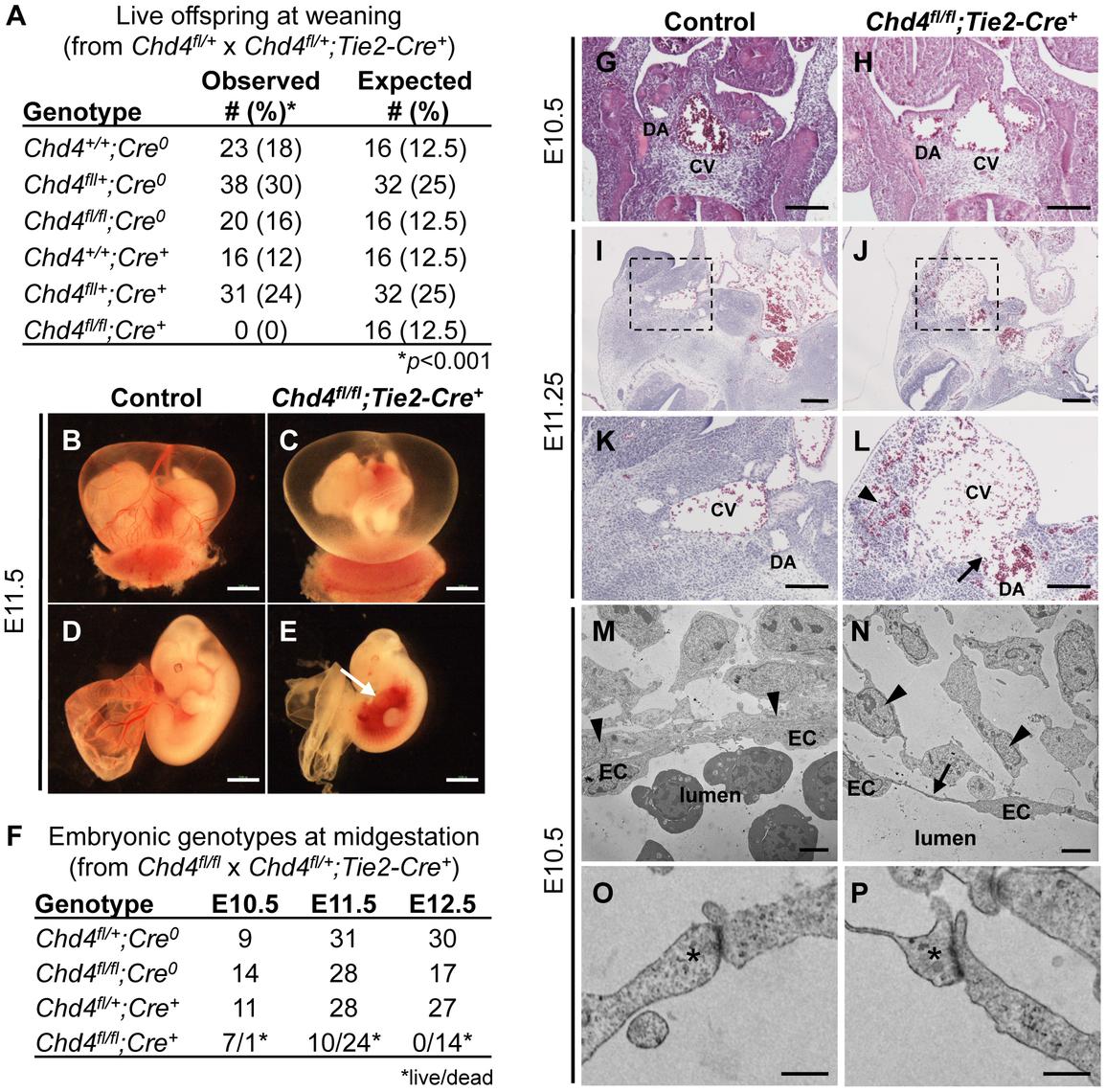 <i>Chd4<sup>fl/fl</sup>;Tie2-Cre<sup>+</sup></i> embryos undergo vascular rupture by E11.25.