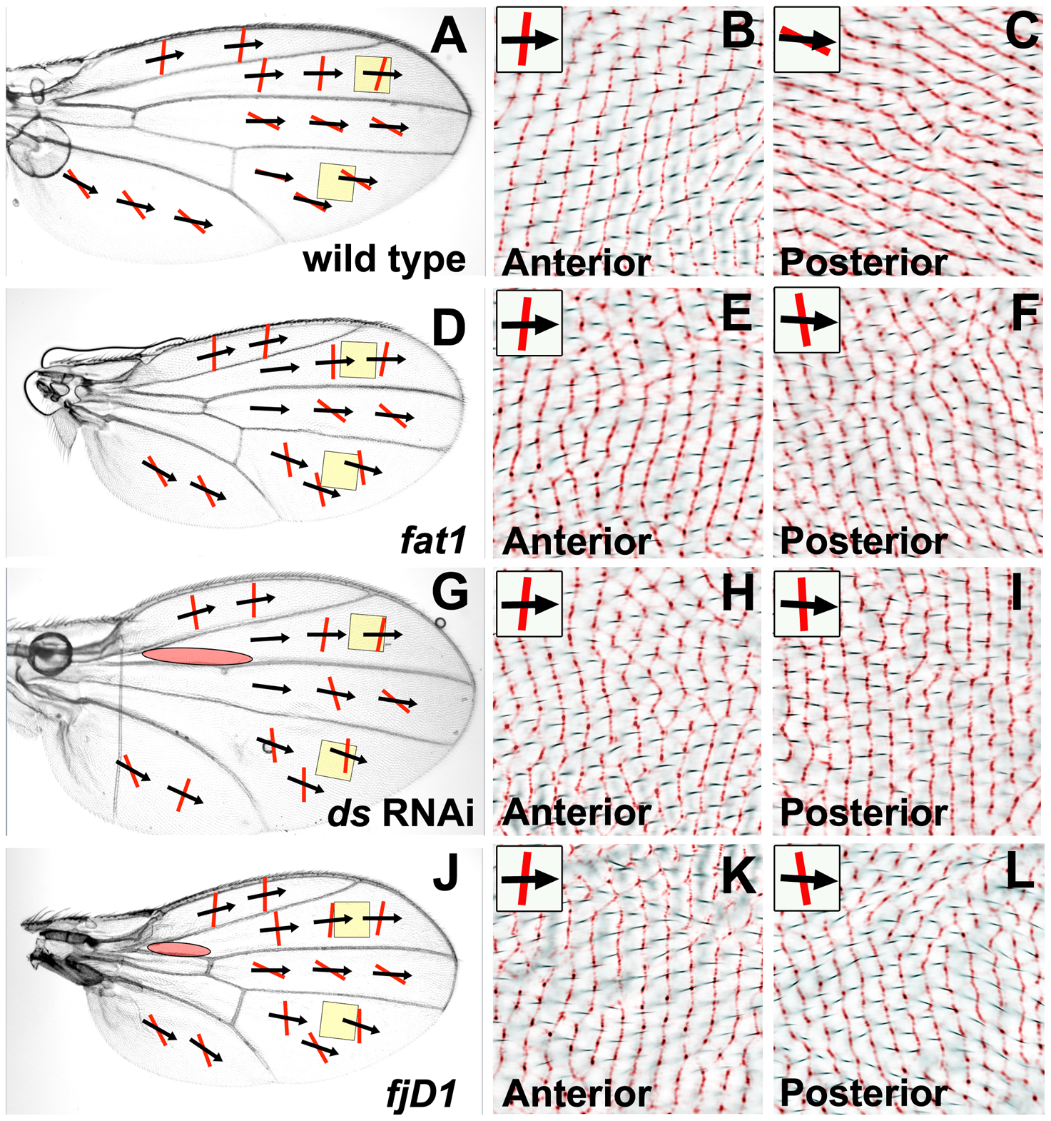 Reduced Ft/Ds pathway gene activity alters posterior ridge orientation without affecting hair polarity.