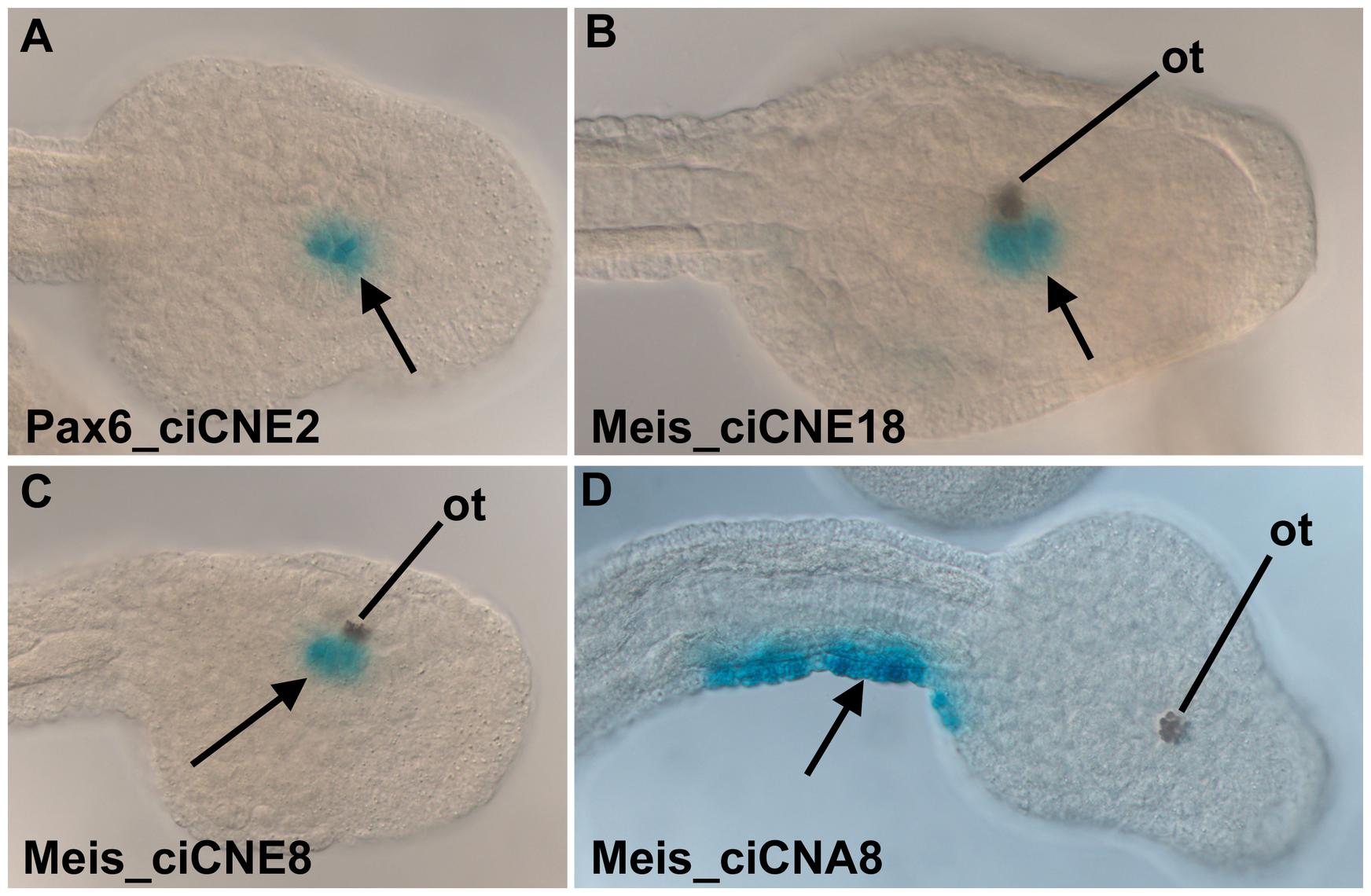 Analysis of ciCNEs in <i>C. intestinalis</i> embryos.