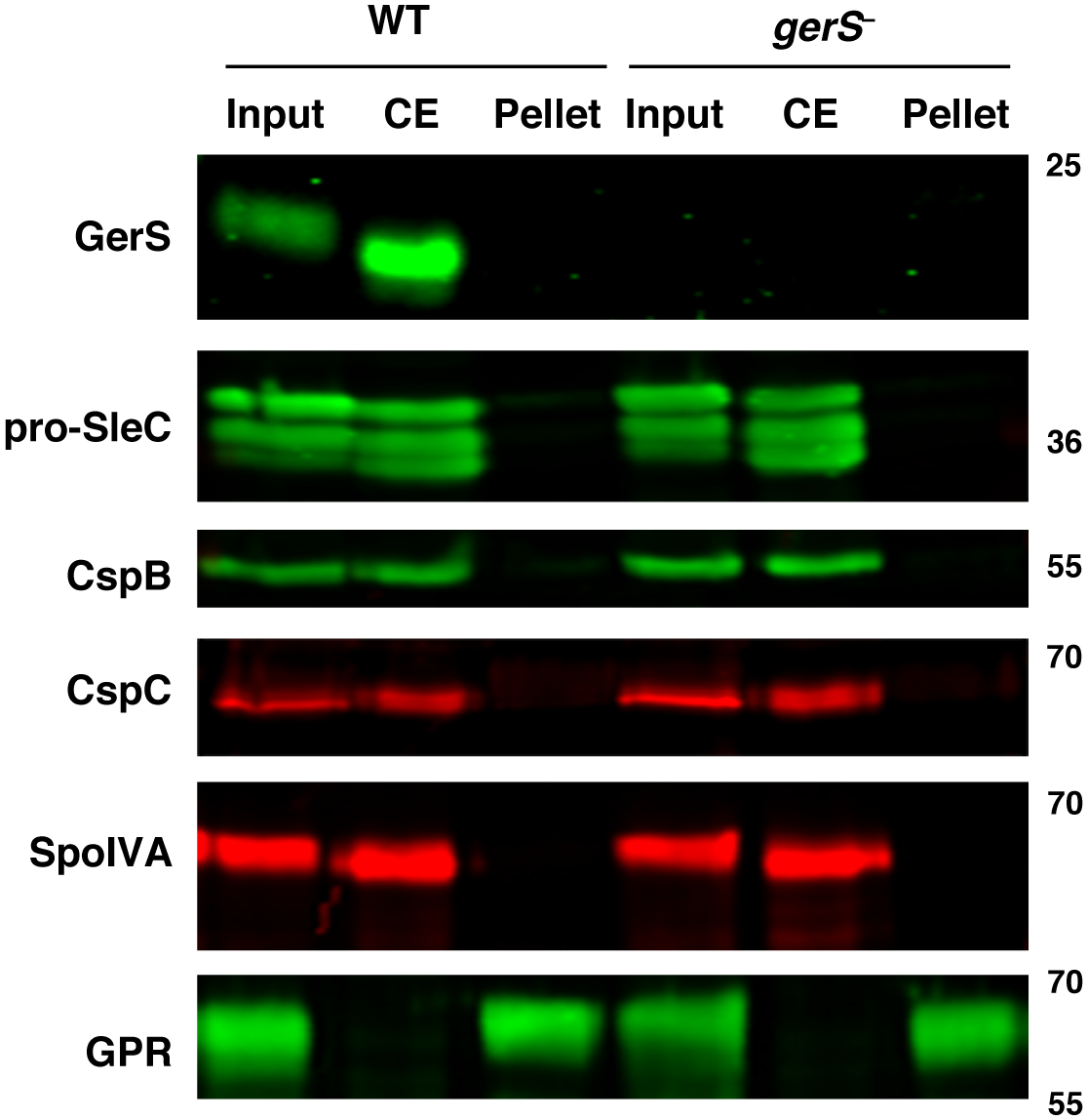 "Germination proteins localize to a ""coat-extractable"" (CE) fraction."