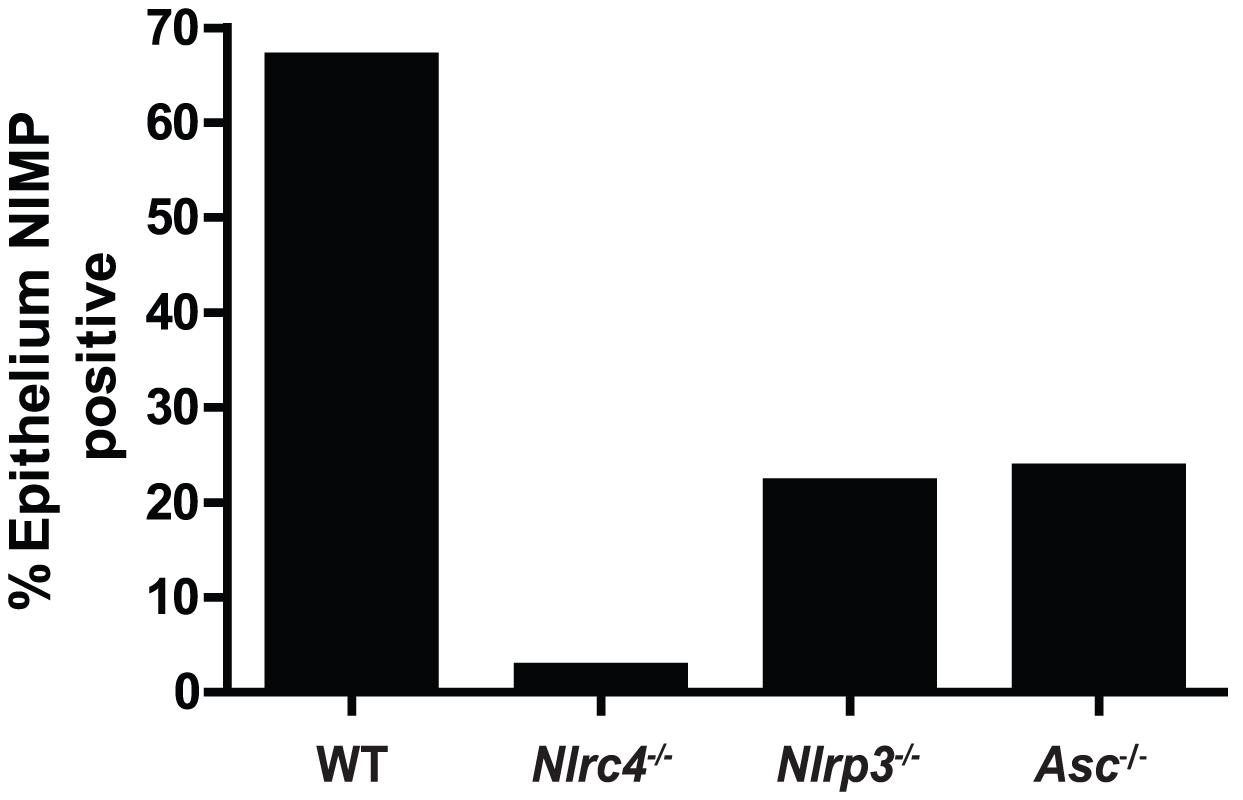 Quantified neutrophil responses in <i>Candida</i> infected epithelium.
