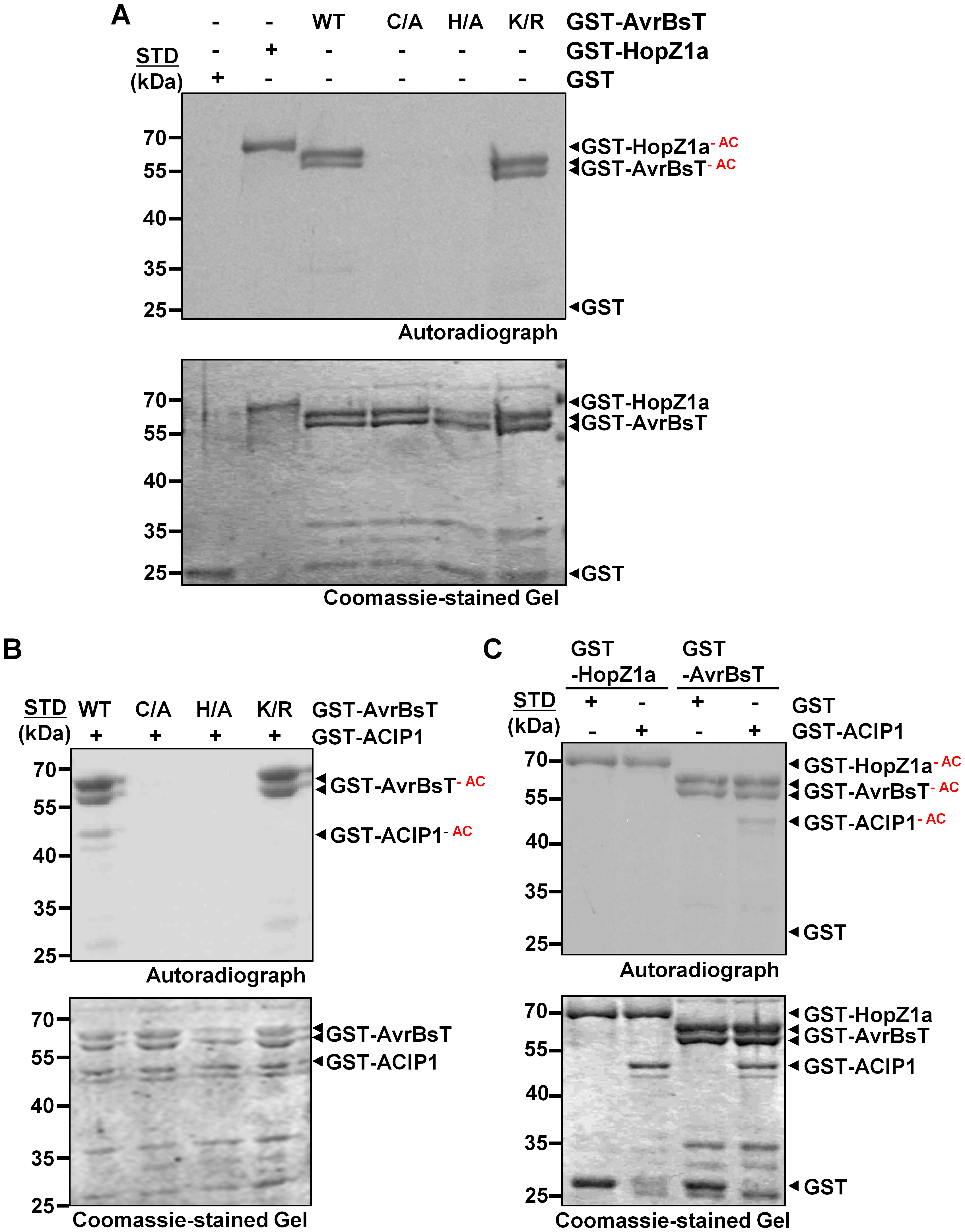 AvrBsT is an acetyltransferase that specifically acetylates ACIP1.