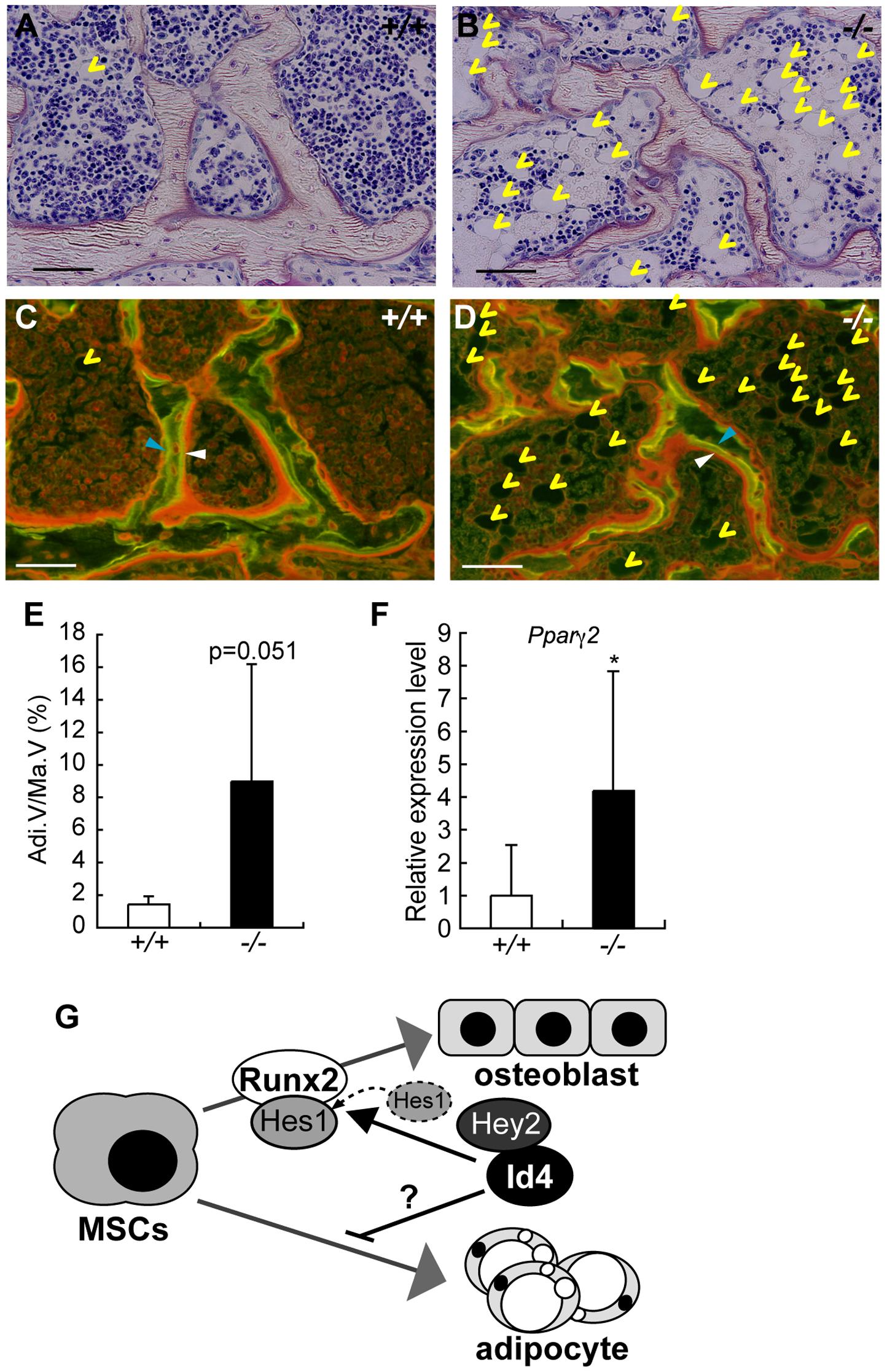 4-week-old <i>Id4</i><sup>−/−</sup> mice show increased adipocytes in bone marrow.