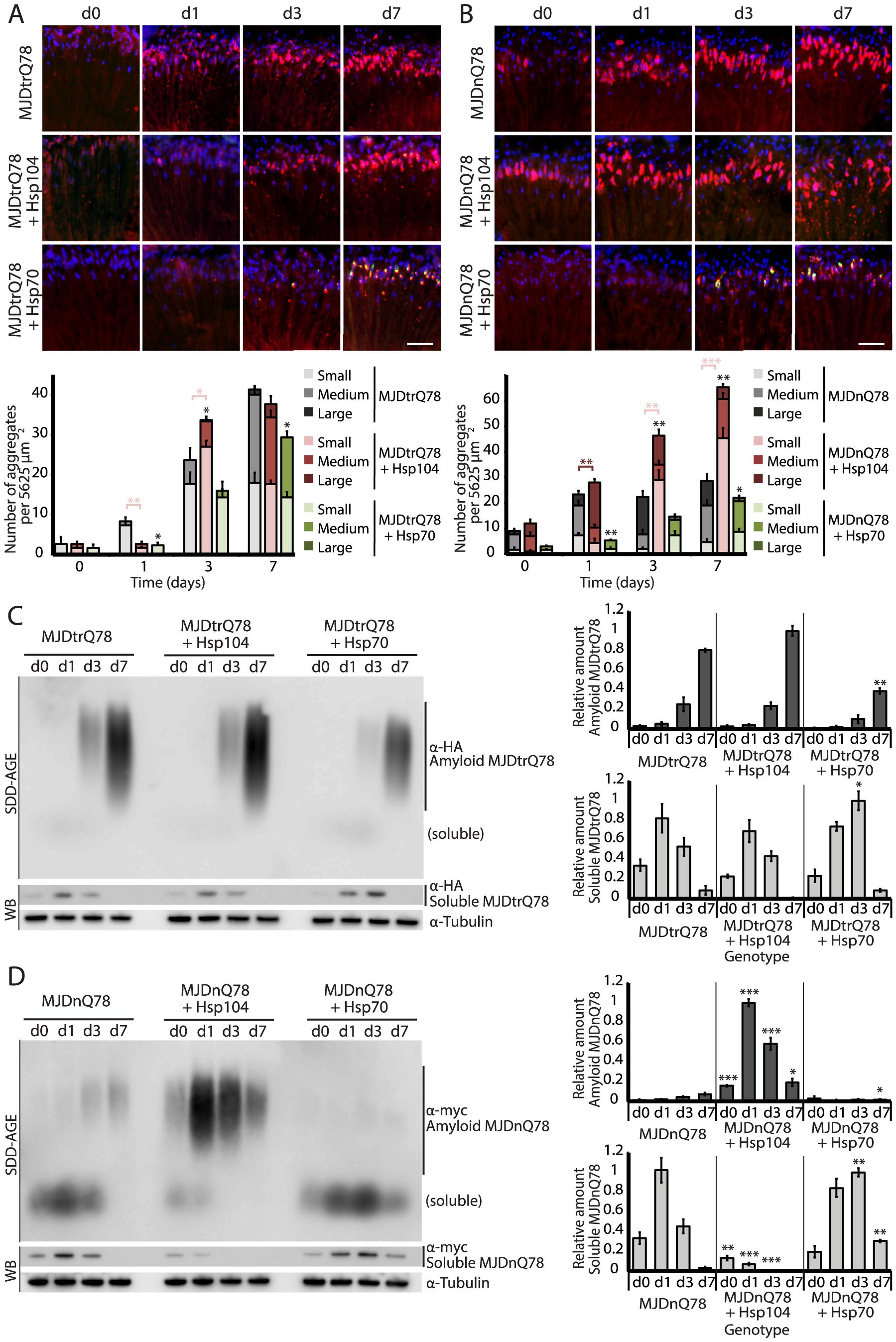 Hsp104 delays aggregation of truncated MJD, but enhances aggregation of full-length MJD.