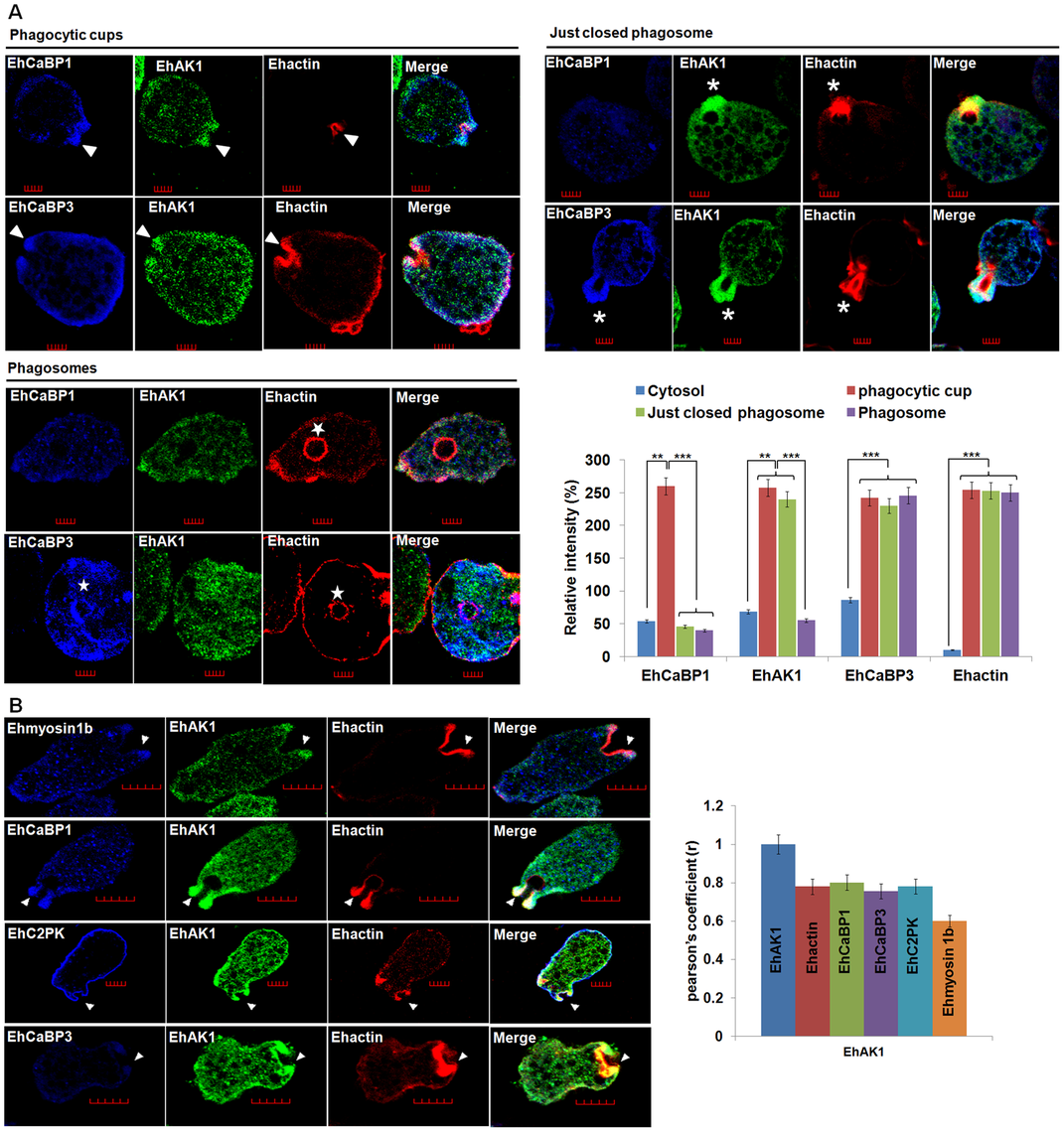 Colocalization of EhAK1 with EhMyosin 1B, EhC2PK, EhCaBP1 and EhCaBP3 at the phagocytic cup during erythrophagocytosis.