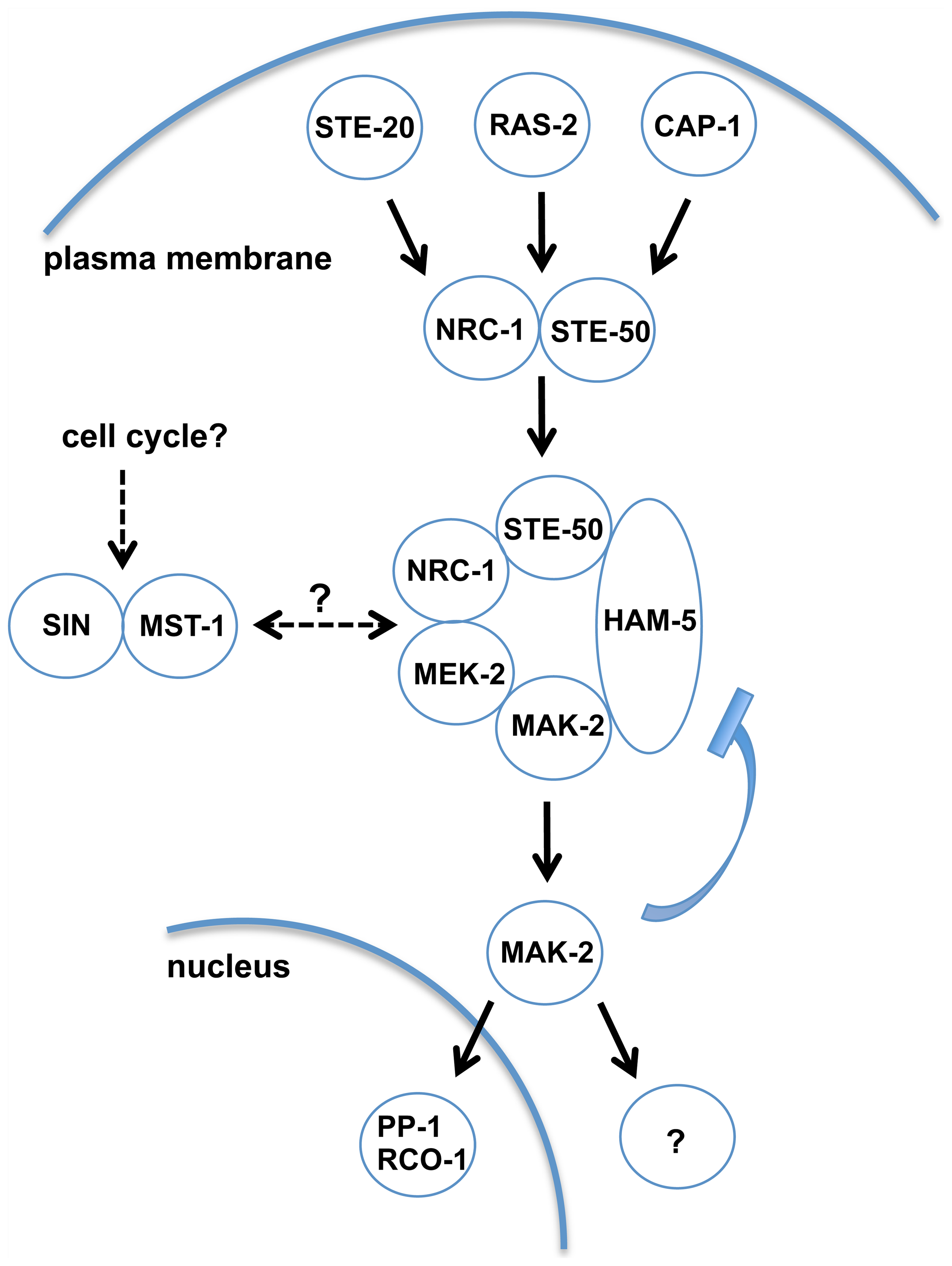 Model depicting network organization of the MAK-2 pathway and putative regulatory mechanisms.