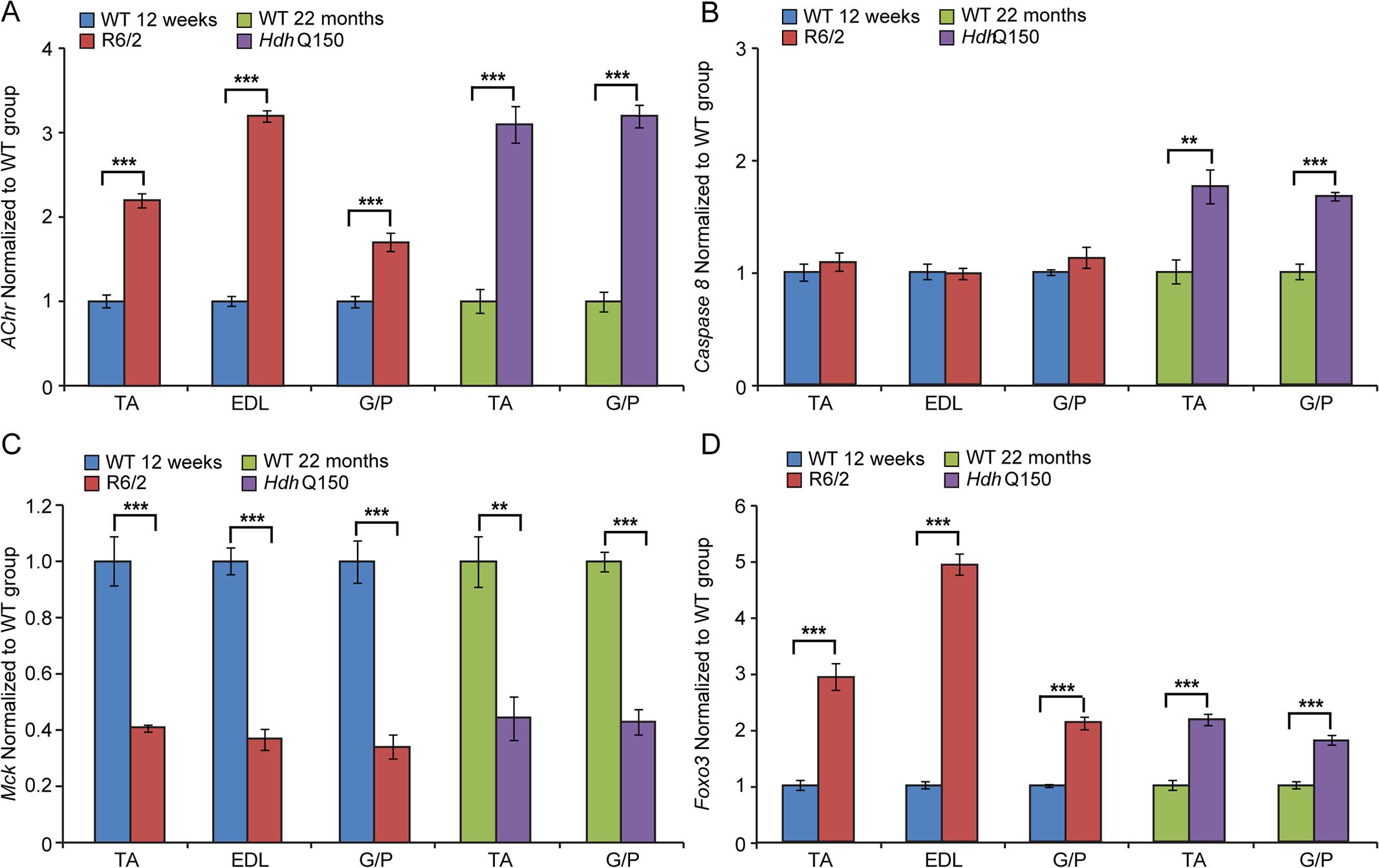 Transcriptional deregulation of gene markers involved in skeletal muscle atrophy.