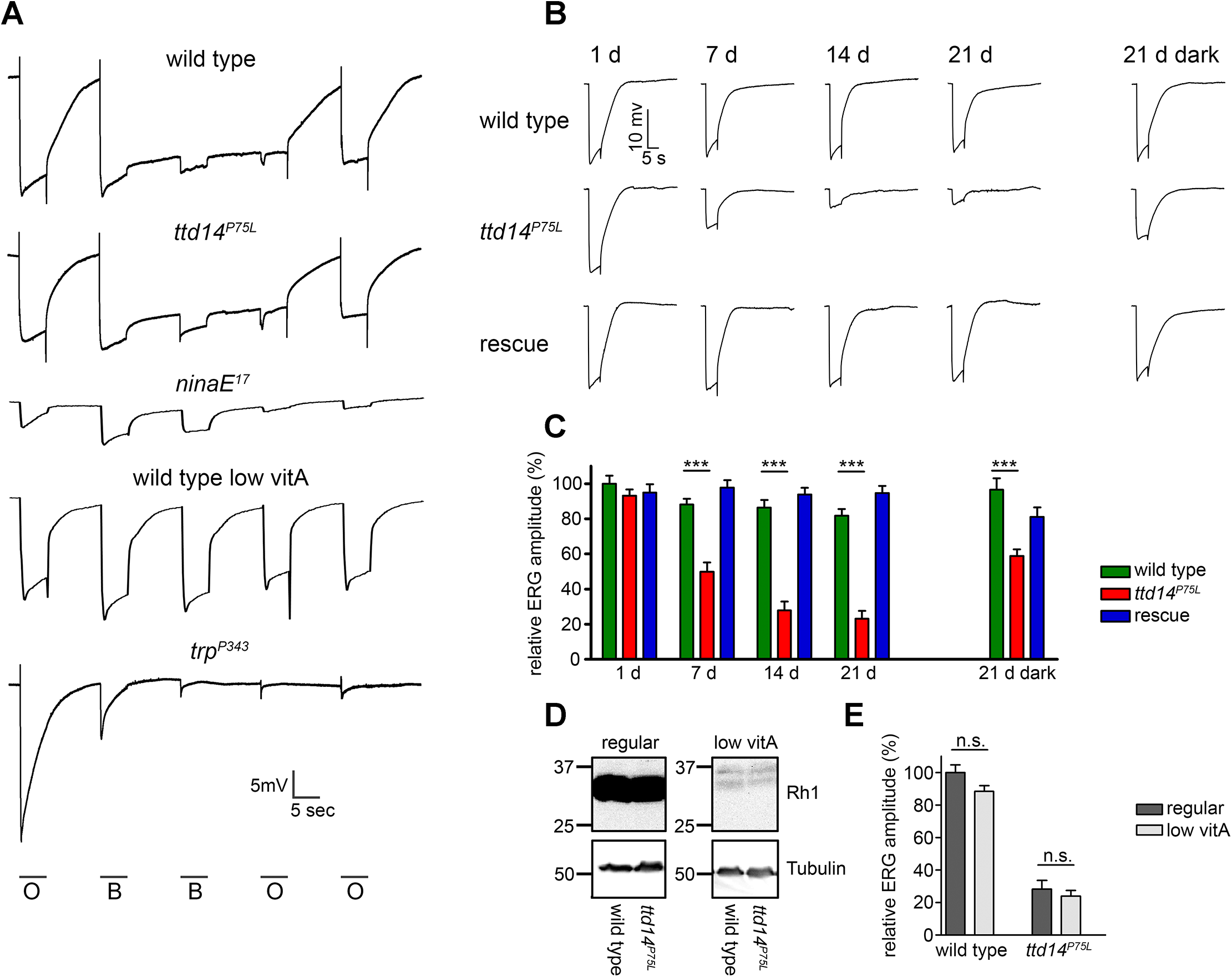 Aged <i>ttd14</i><sup><i>P75L</i></sup> mutant flies kept in a 12 hours light/ 12 hours dark cycle develop physiological defects.
