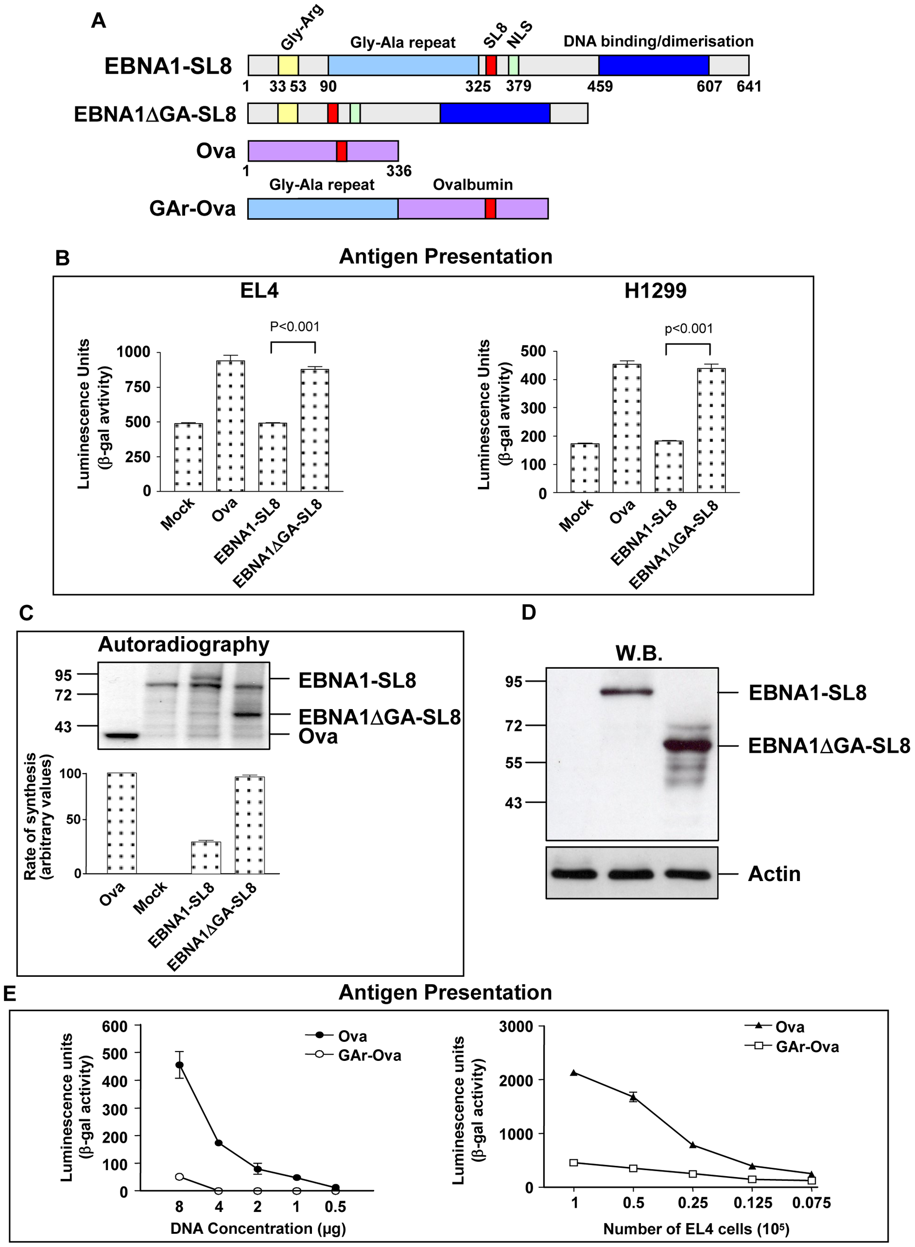 Inhibition of EBNA1 synthesis prevents presentation of peptides derived from the EBNA1 mRNA.