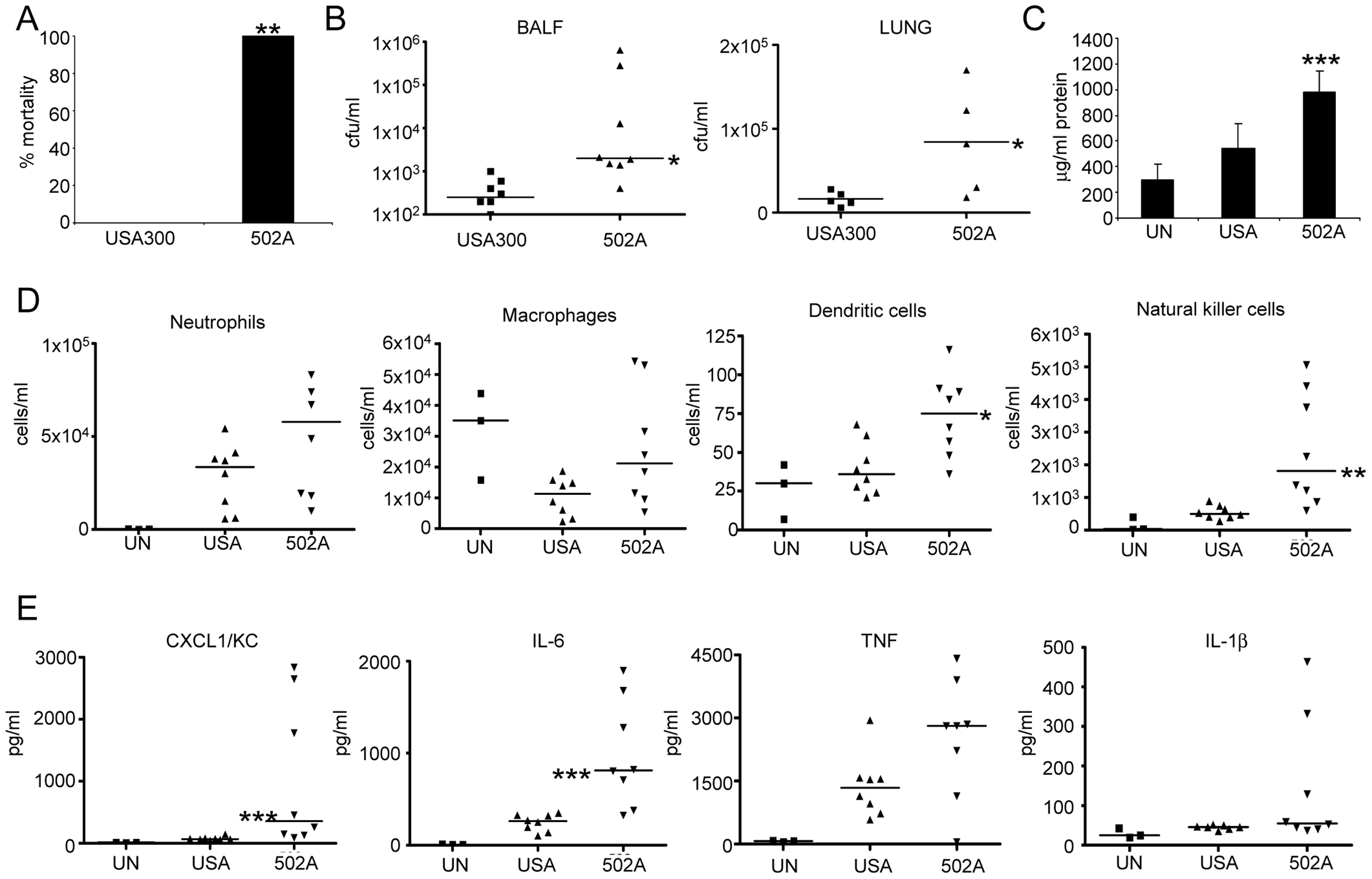 502A displays increased virulence in a murine model of acute pneumonia.