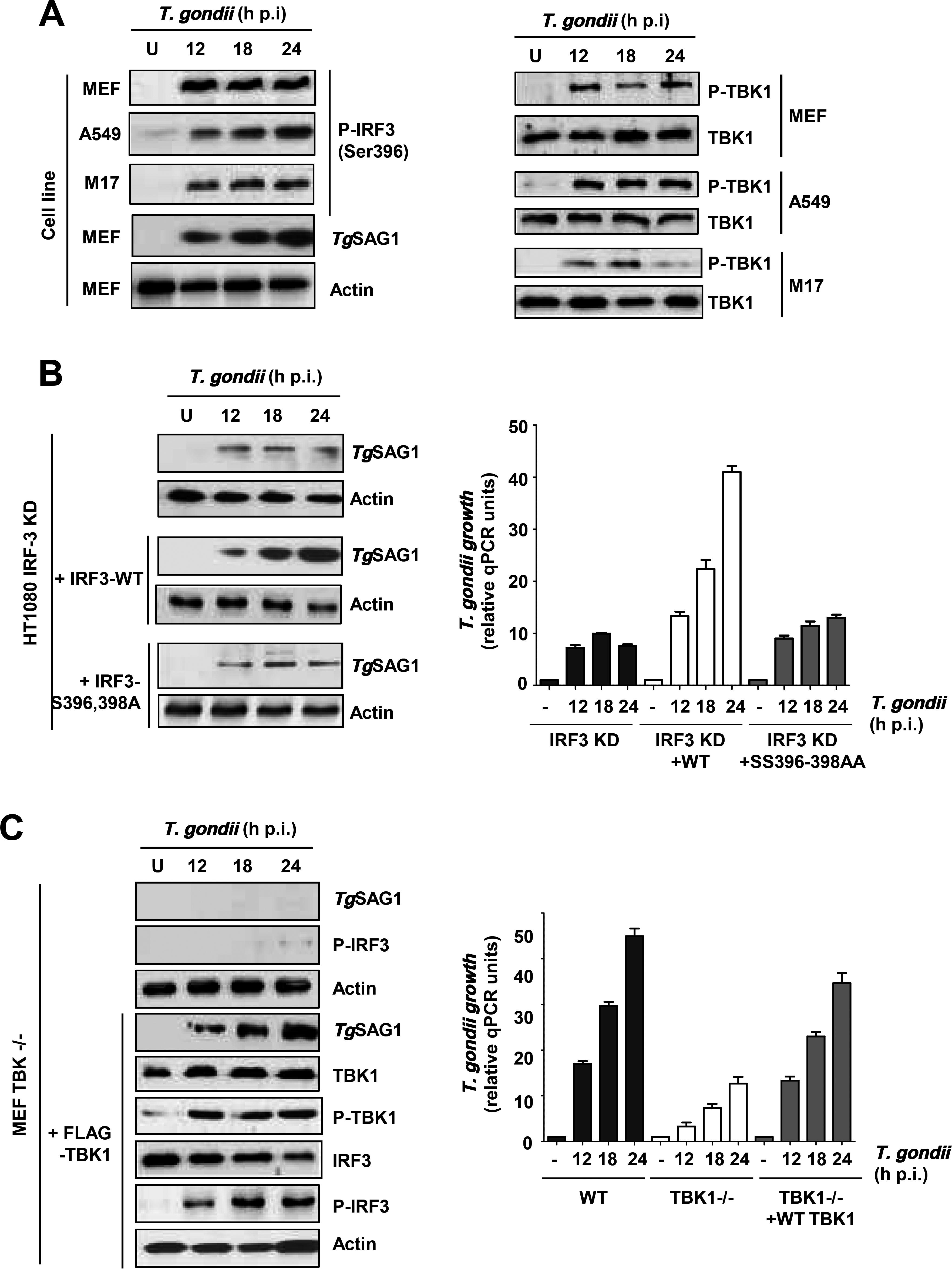 IRF3 phosphorylation is essential for PISA and <i>T</i>. <i>gondii</i> replication.