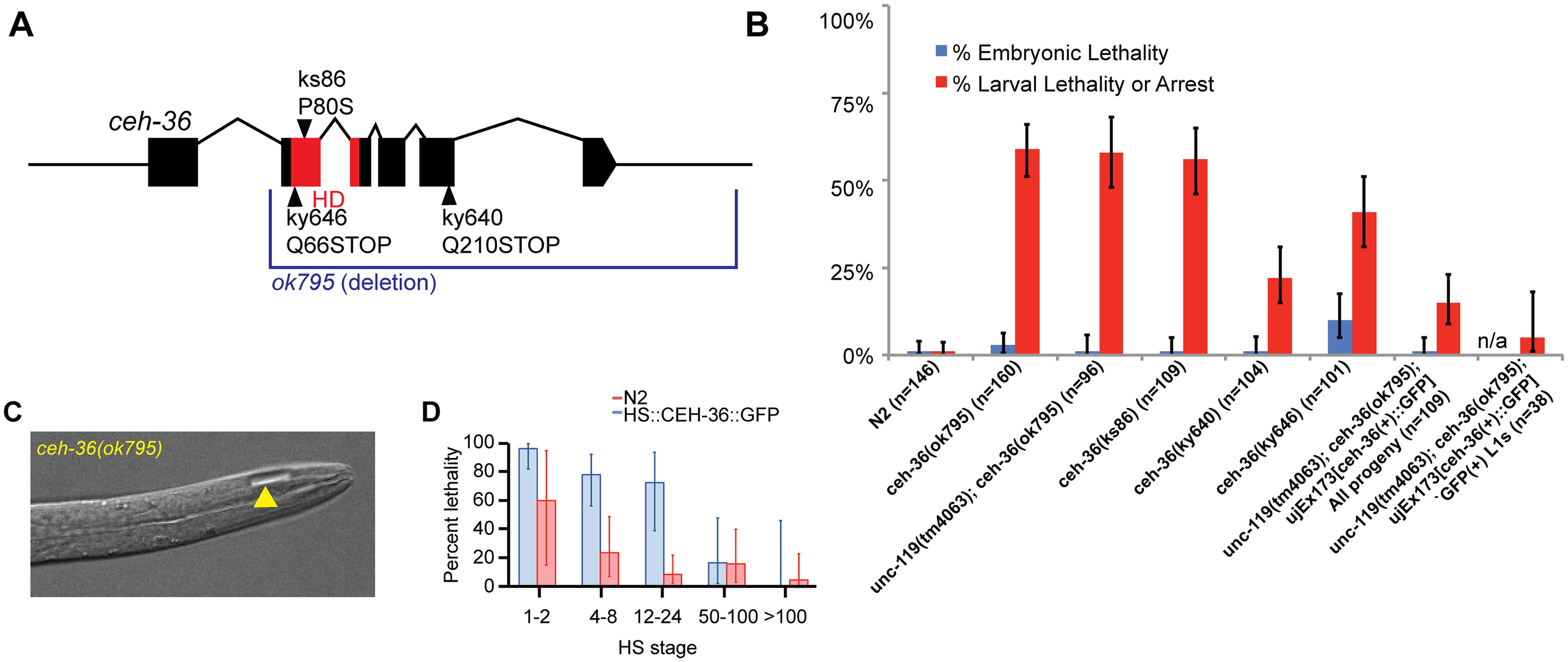 <i>ceh-36</i> mutants have partially penetrant larval lethality and mild morphological defects.