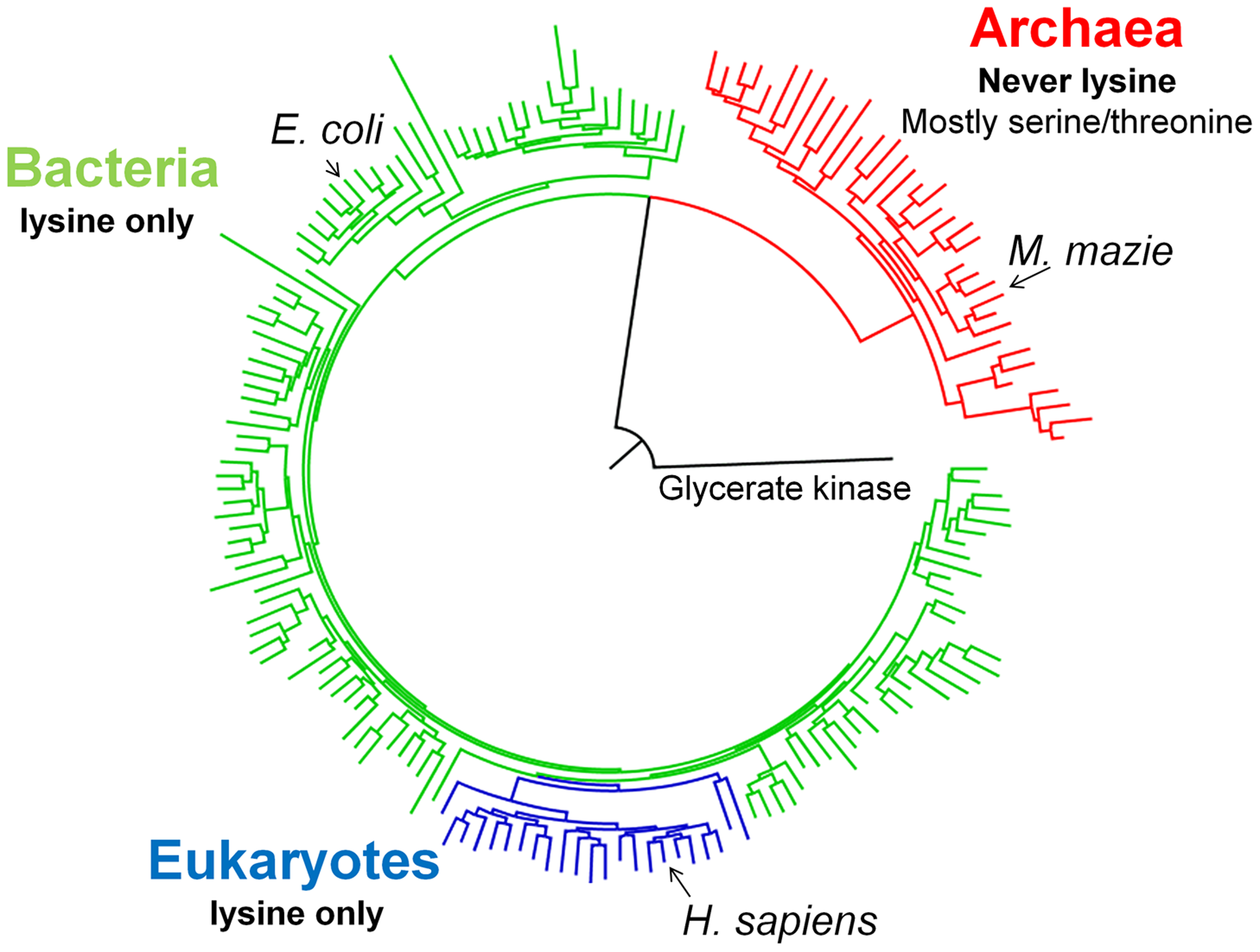 A schematic PGK phylogenetic tree.