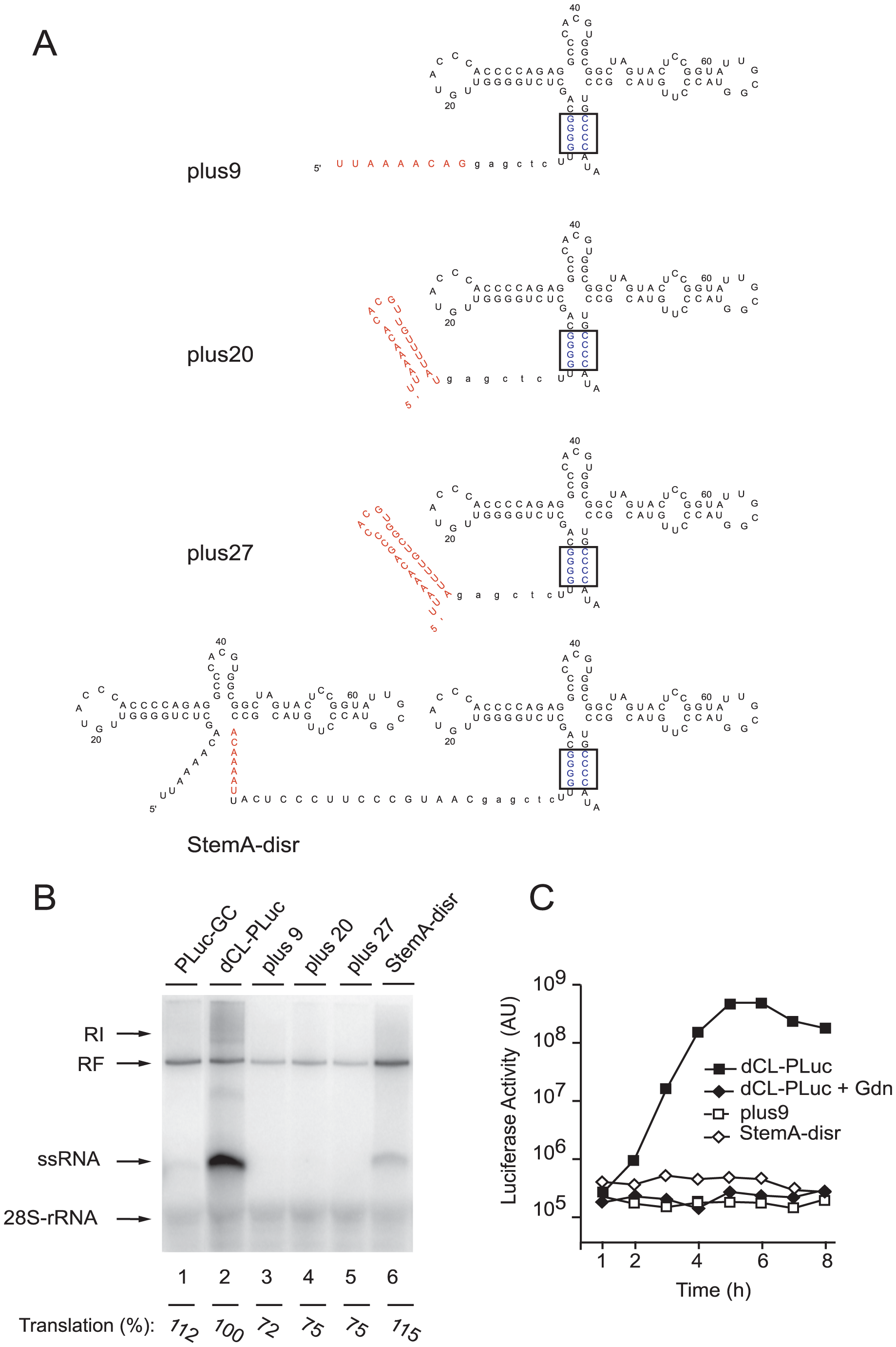 Efficient replication requires a full-length cloverleaf structure at the most 5′-end of the virus genome.