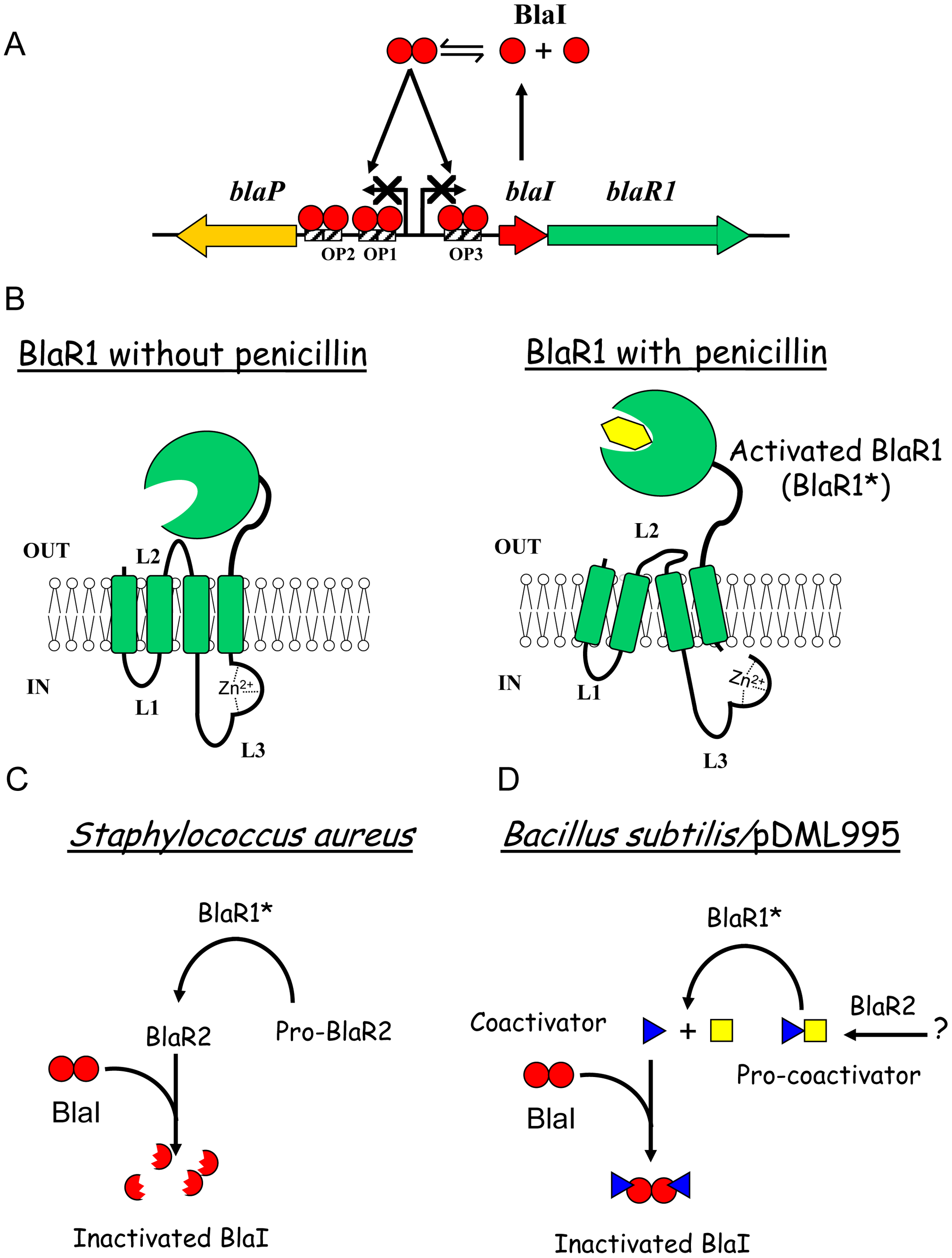 Beta-lactamase induction in <i>B. licheniformis</i> 749/I and <i>S. aureus</i>.