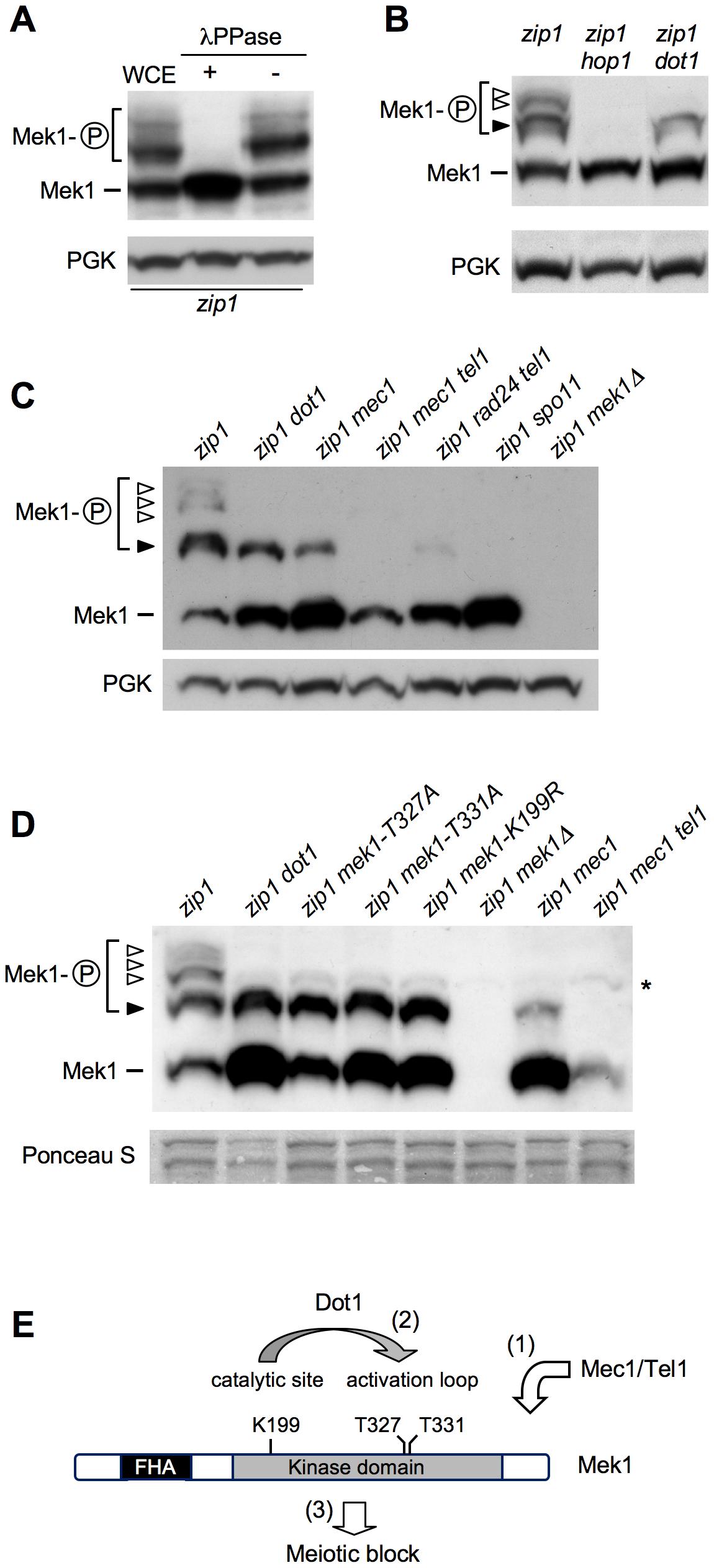 Dot1 contributes to Mek1 activation by autophosphorylation.