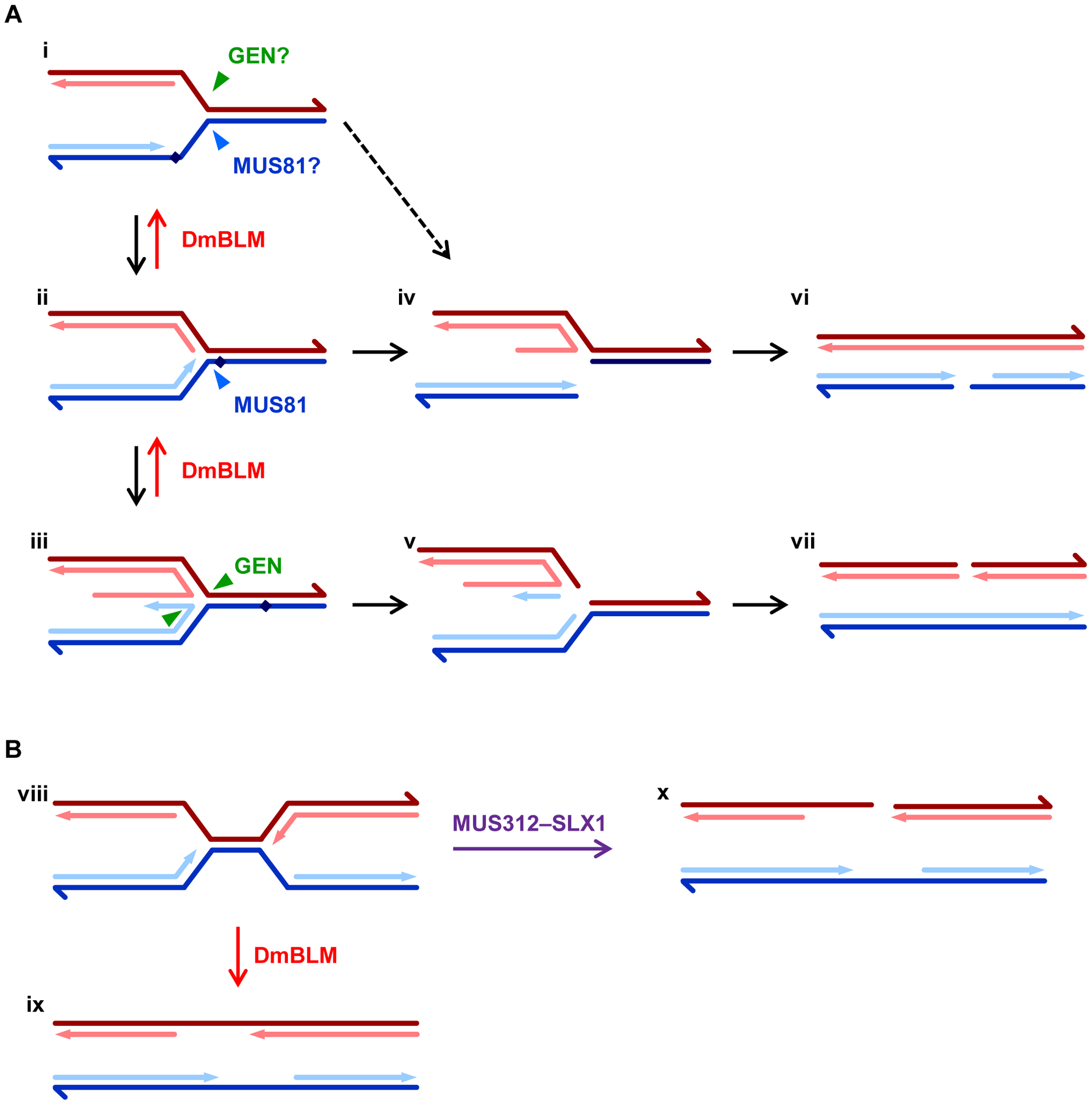 Models for roles of DmBLM and endonucleases in replication fork repair.