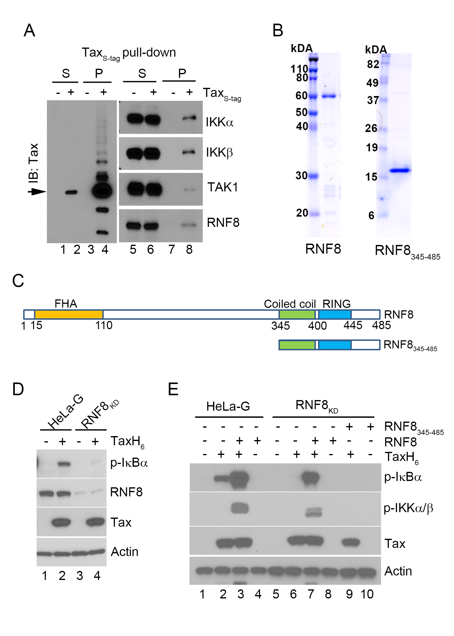 The E3 ubiquitin ligase, RNF8, supports IKK activation by Tax <i>in vi</i>tro.