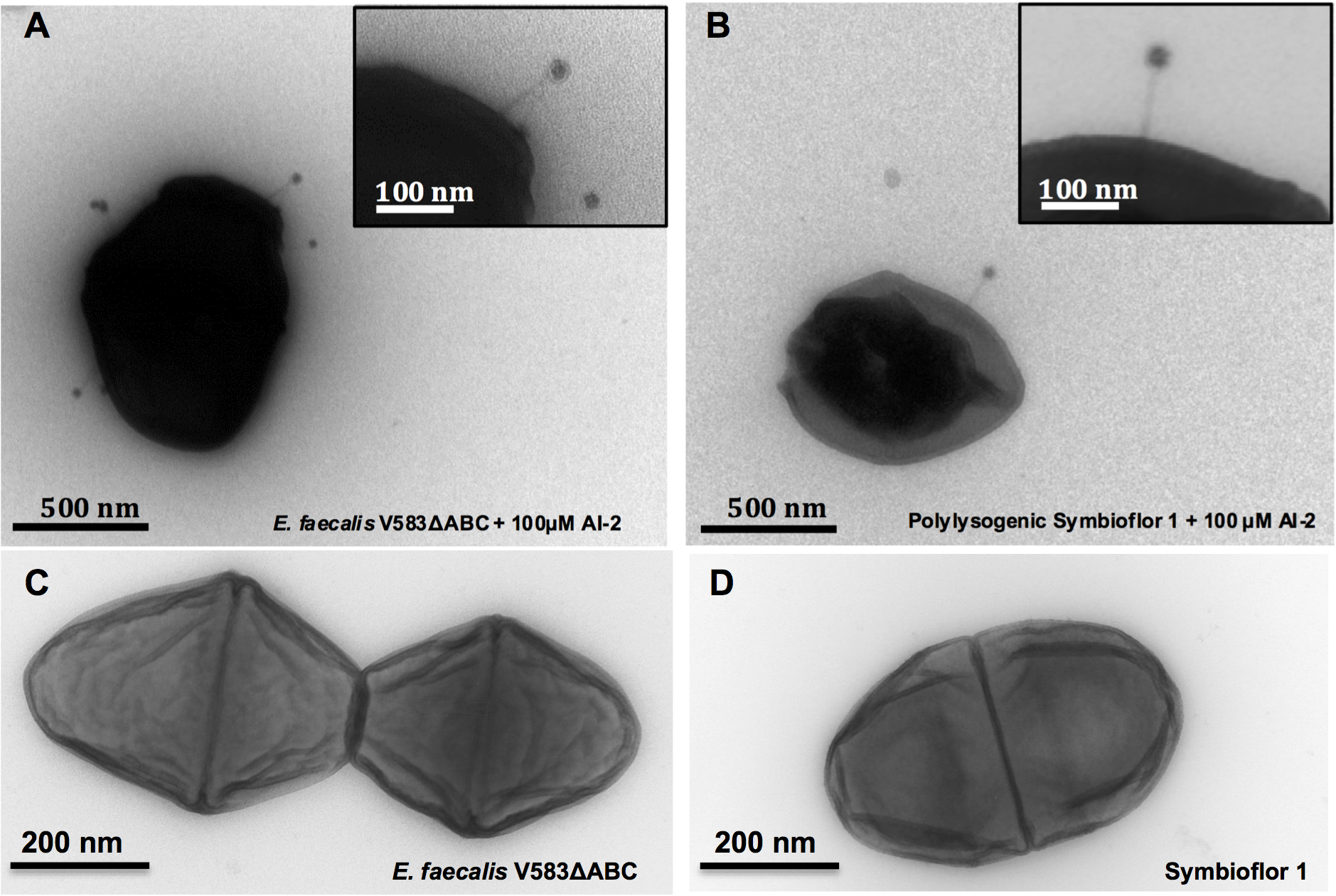 Transmission Electron Micrographs of <i>E. faecalis</i> V583ΔABC and Symbioflor 1 surface-associated phages after induction with 100 μM AI-2 and controls.