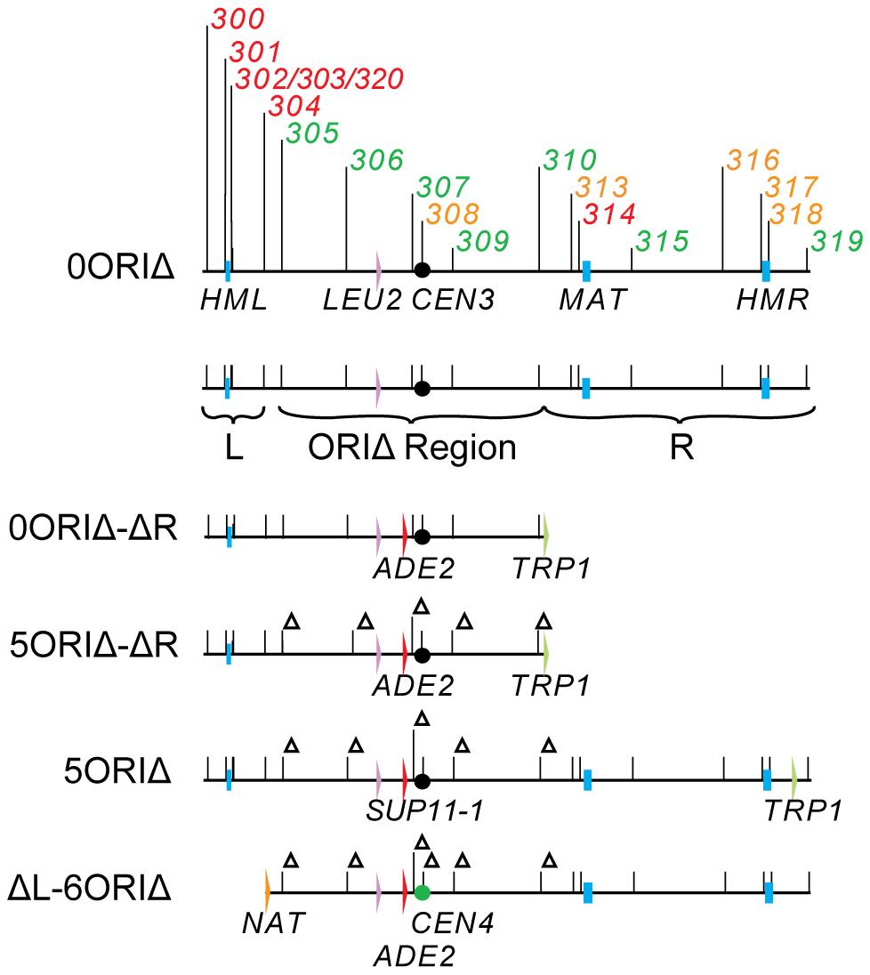 Chromosome III derivatives.