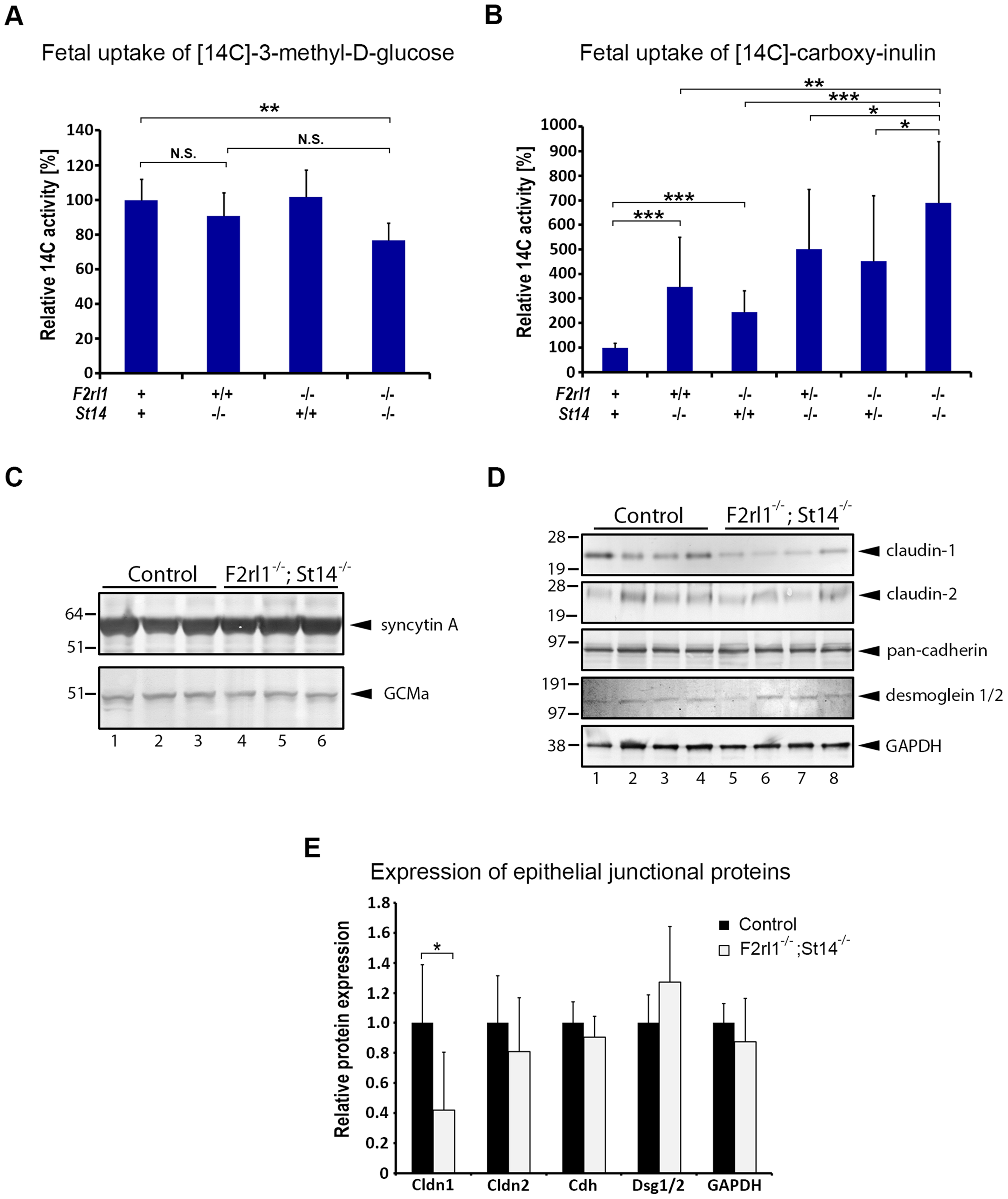 Loss of matriptase and PAR-2 function impairs formation of the feto-maternal barrier.
