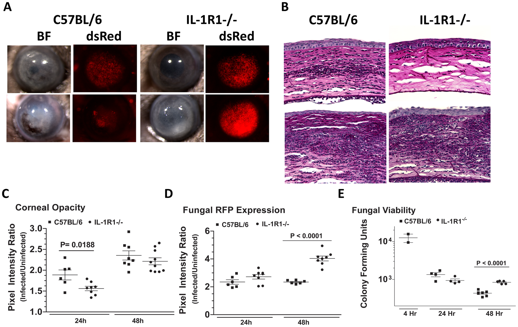 The role of IL-1R1 in <i>A. fumigatus</i> keratitis.