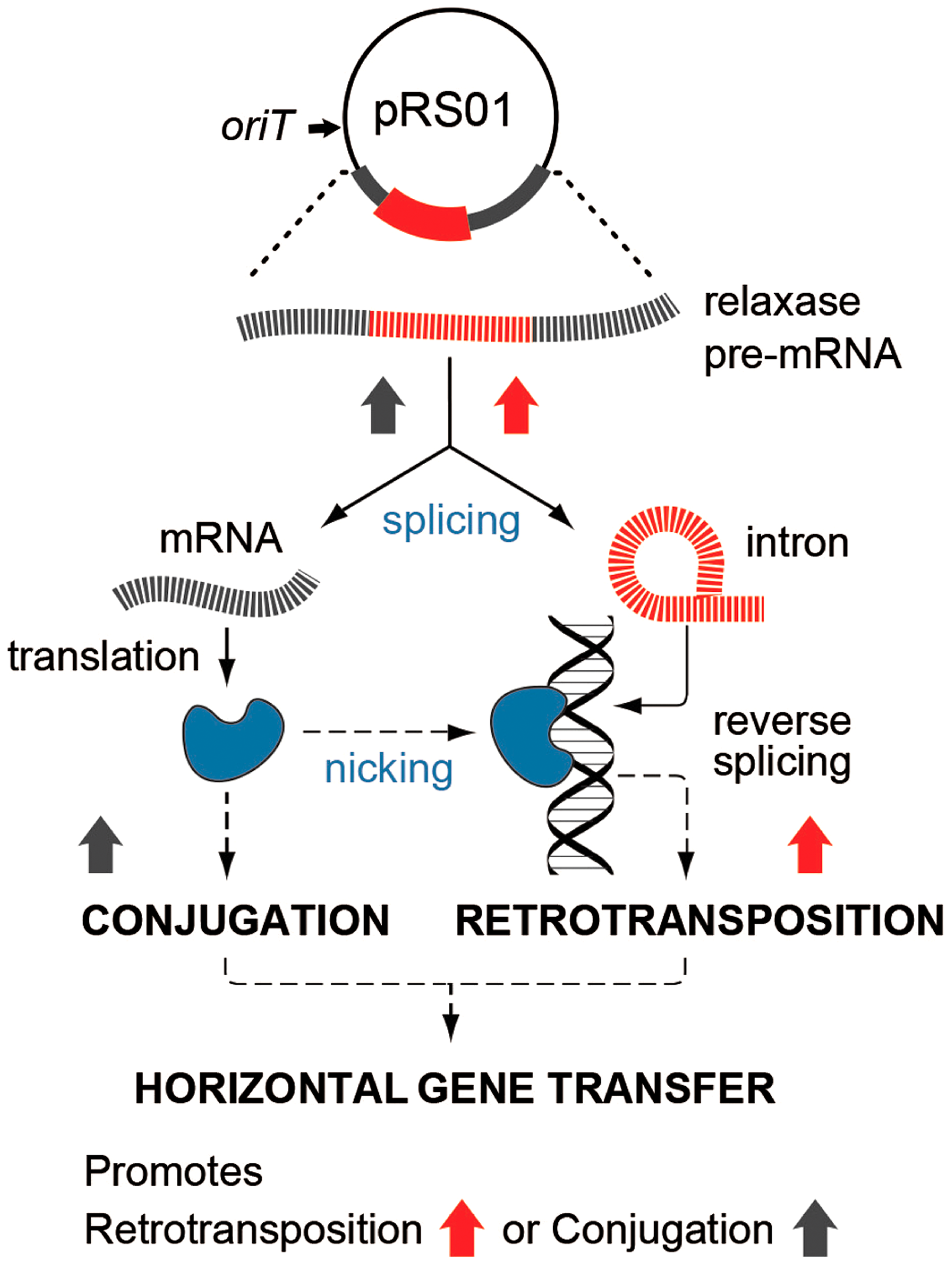 Interaction between pRS01 conjugation and intron retrotransposition.