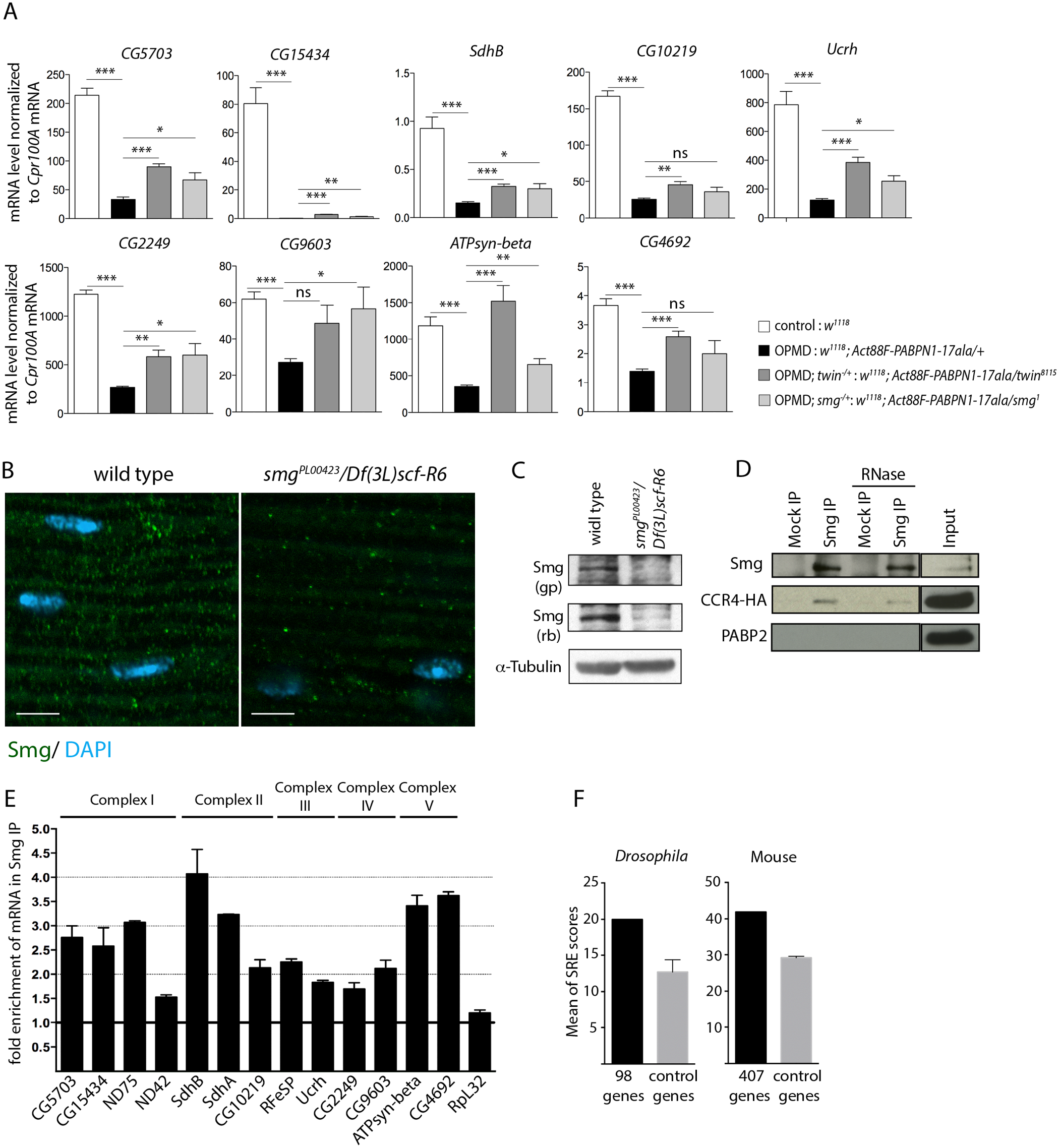 Smg binds to mRNAs encoding mitochondrial proteins and is involved in mRNA down-regulation due to PABPN1-17ala expression.