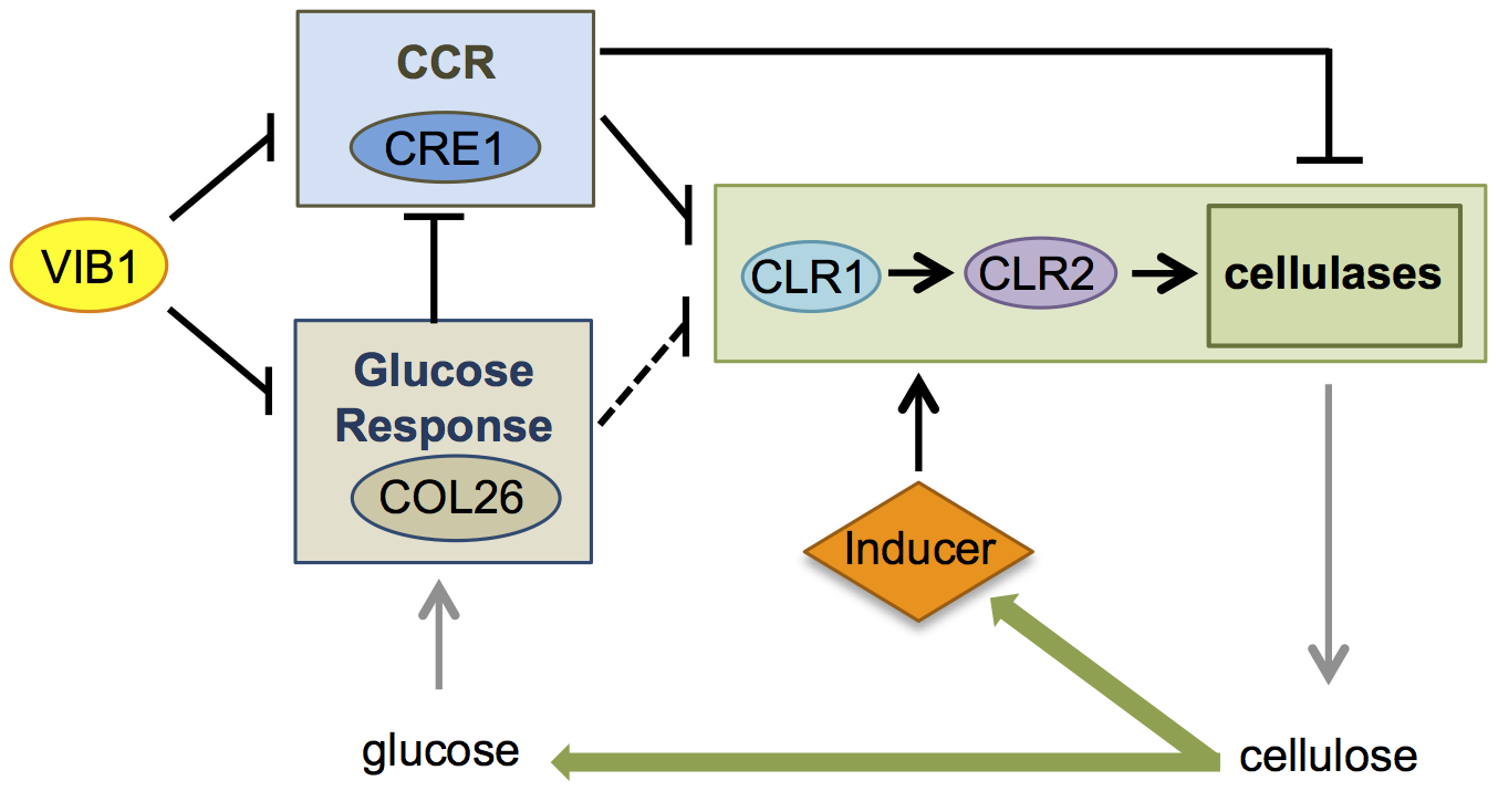 Model for role of VIB1 in regulating glucose sensing/metabolism and CCR under cellulolytic conditions.