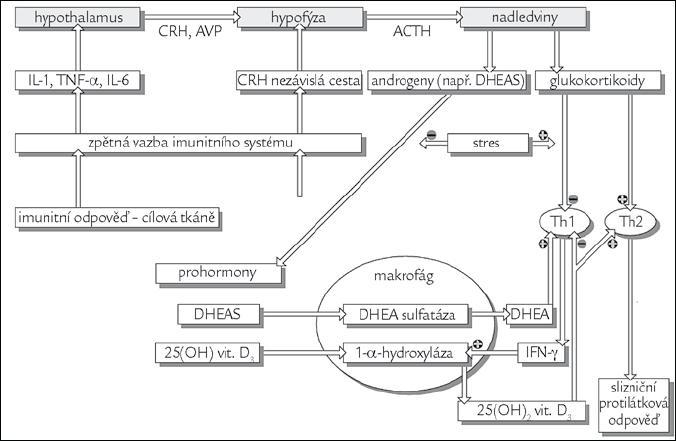 Souhra regulačních mechanizmů imunitního a endokrinního systému, do kterého je začleněn D<sub>3</sub> přes VDR receptor. Obrázek byl použit se souhlasem redakce z [1].
