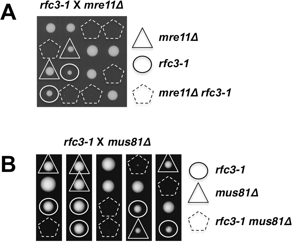 Mre11 and Mus81 are essential in <i>rfc3-1</i> cells.