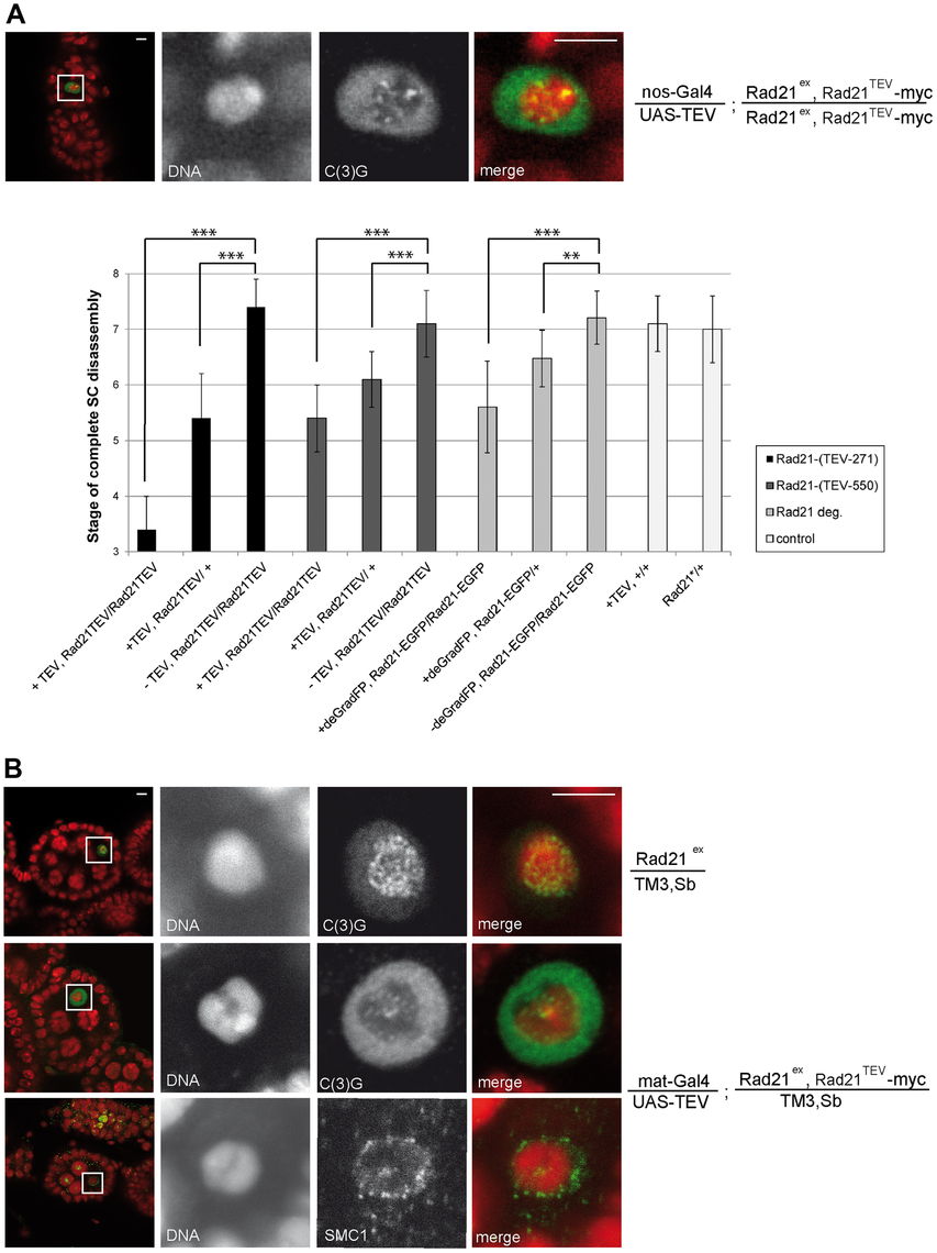 Premature SC disassembly can be triggered by Rad21 removal using different driver/transgene combinations.