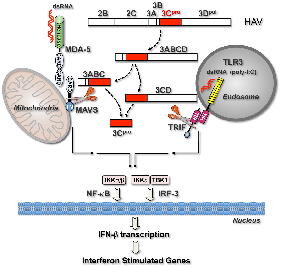 Interferon-activating pathways disrupted during HAV infection by 3C<sup>pro</sup> precursor-mediated proteolysis of signaling adaptor proteins.