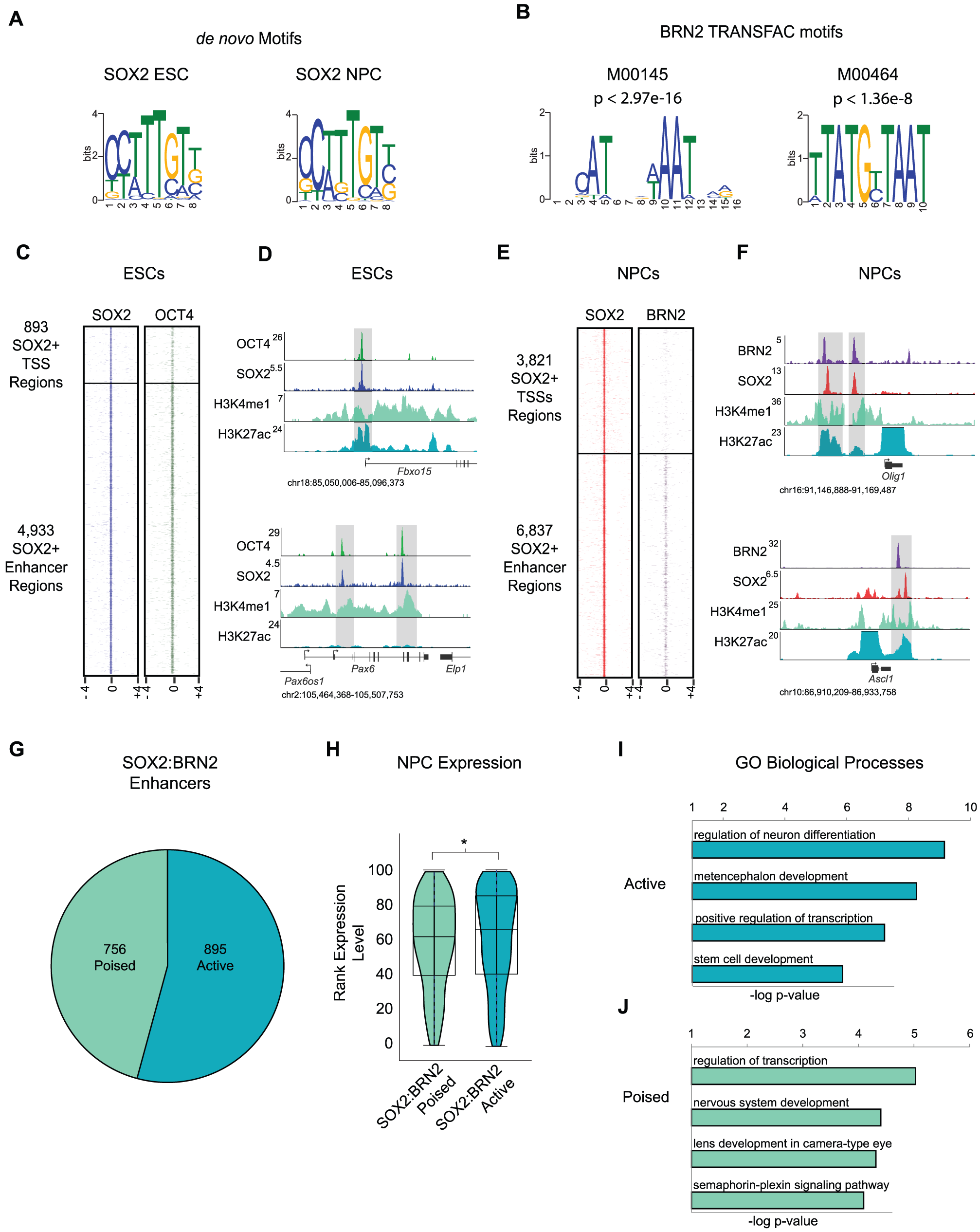 BRN2 co-occupies distal enhancers with SOX2 in NPCs.