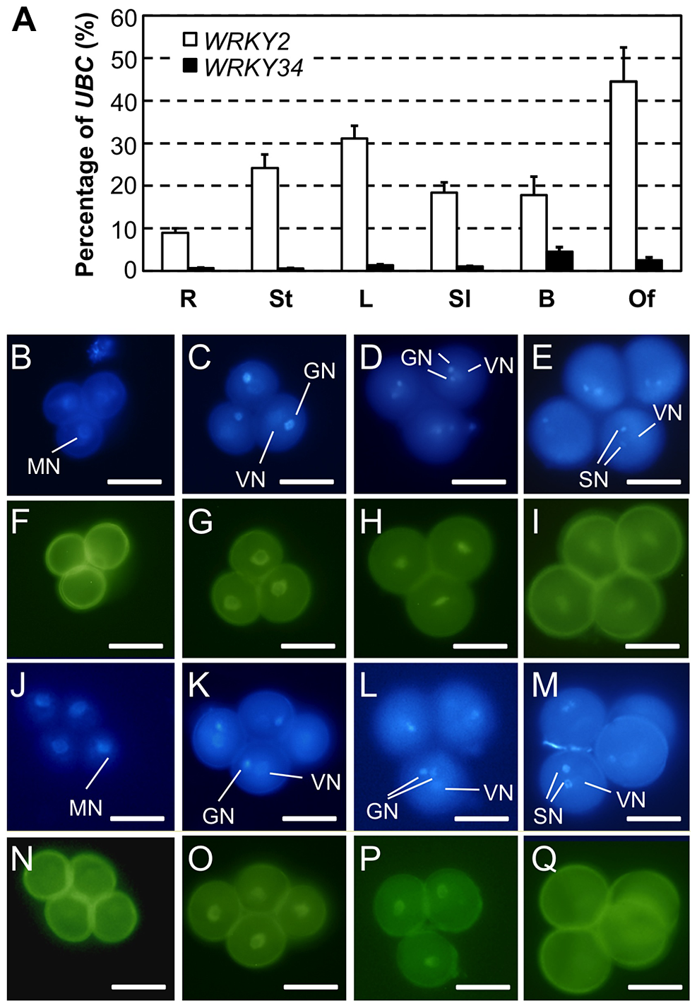 Expression and protein localization of WRKY34 and WRKY2.