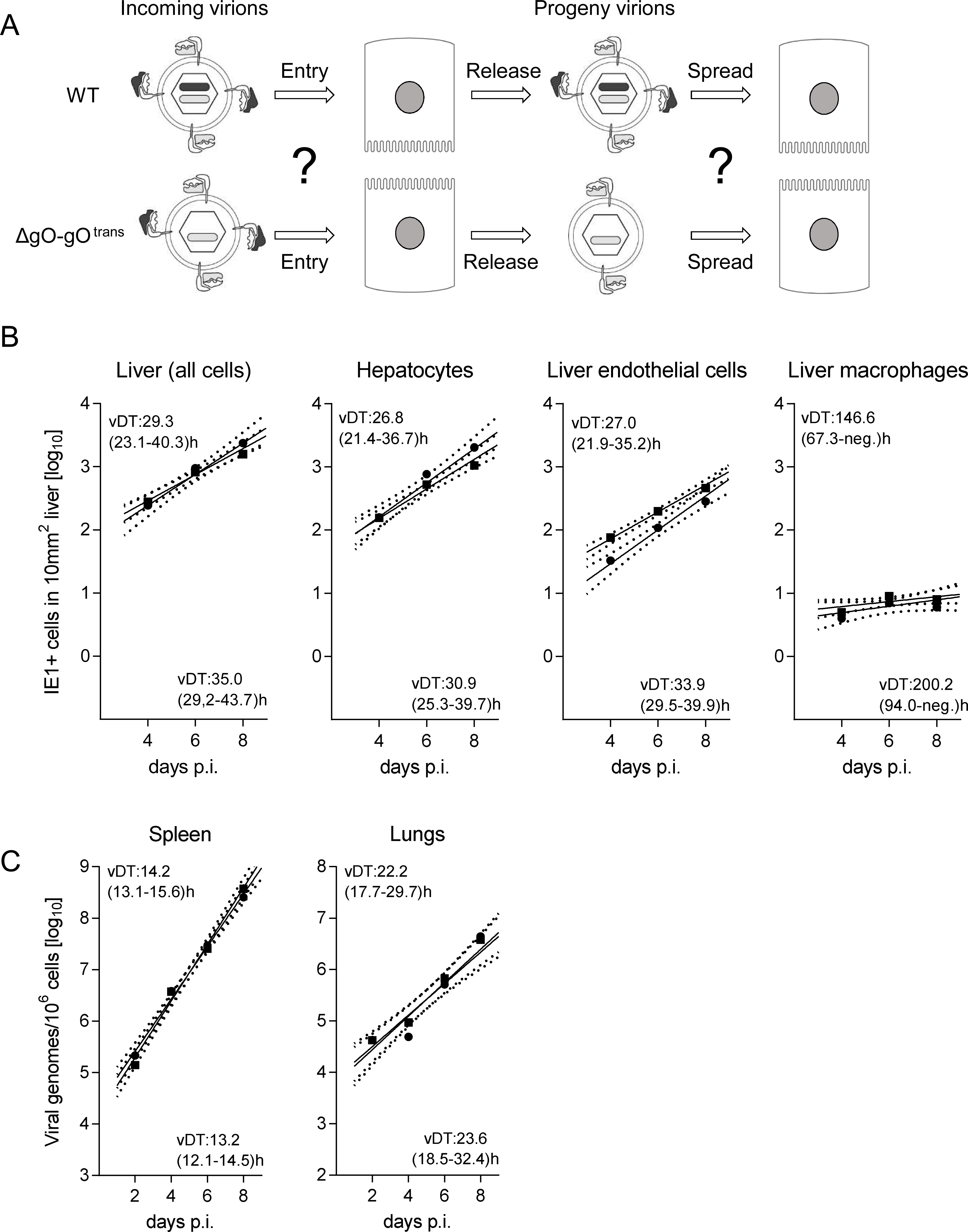Reversal of the ΔgO growth deficiency phenotype by gO-transcomplementation.