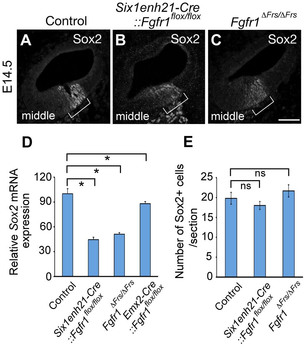 Sox2 is weakly expressed in FGFR1 signalling mutants at the onset of sensory cell differentiation.