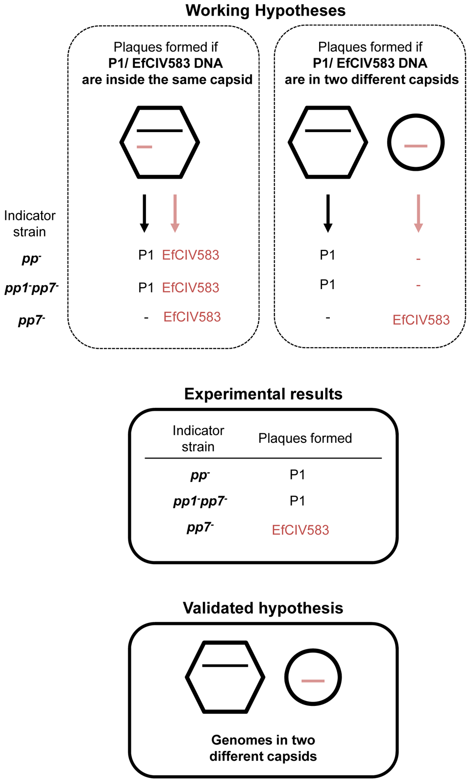 DNA of pp1 and EFCIV583 are packaged in separated capsids.