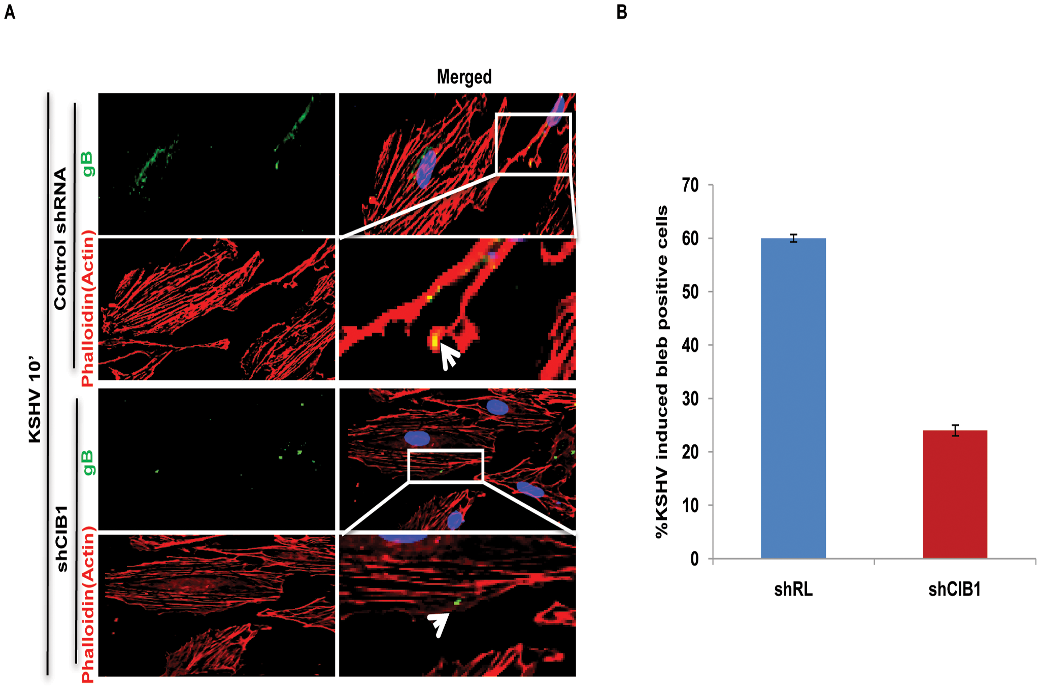 Effect of CIB1 knockdown on macropinocytic uptake of KSHV during <i>de novo</i> infection of endothelial cells.