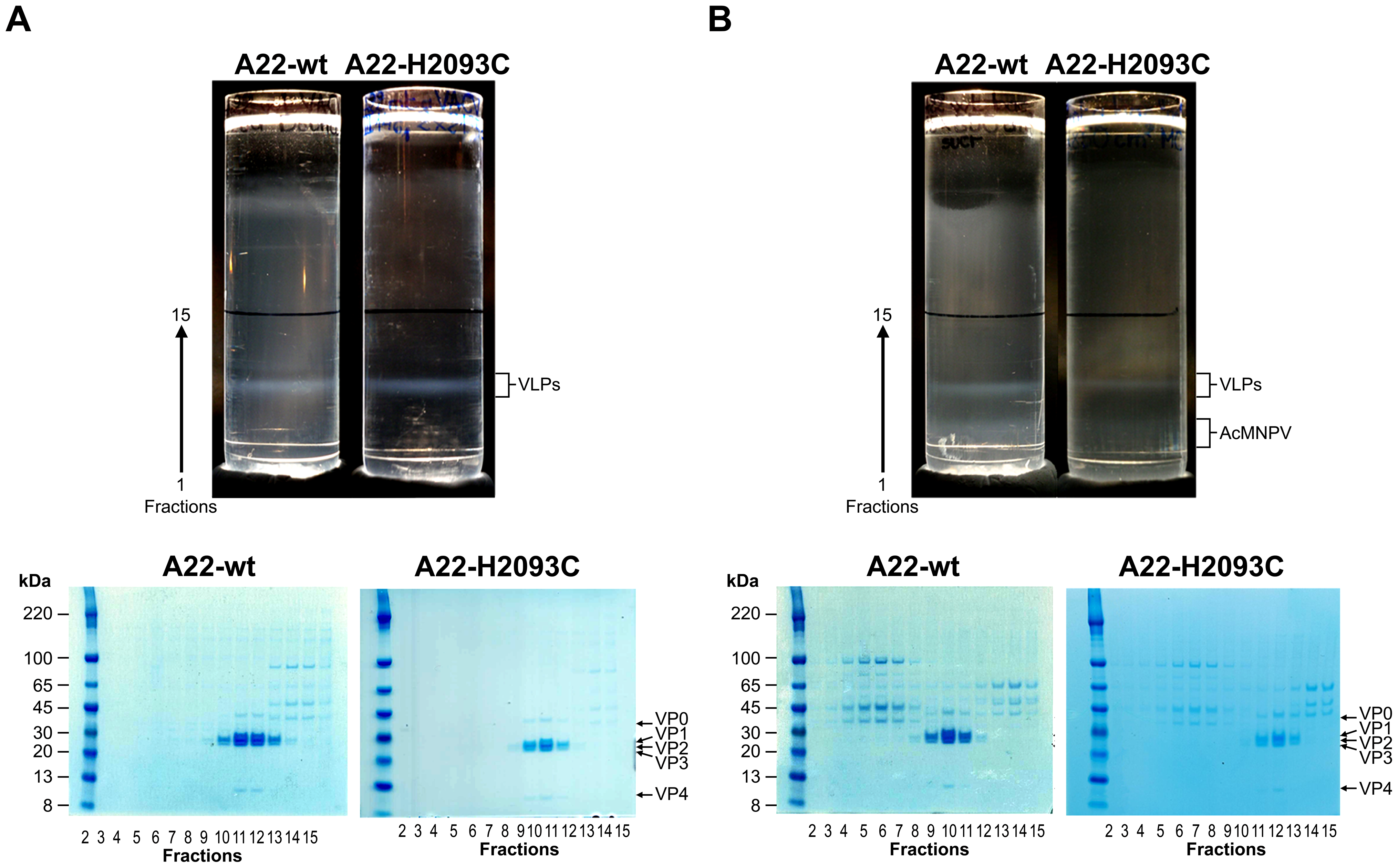 Sucrose gradient purification and SDS PAGE analysis of A22-wt and A22-H2093C recombinant capsids.