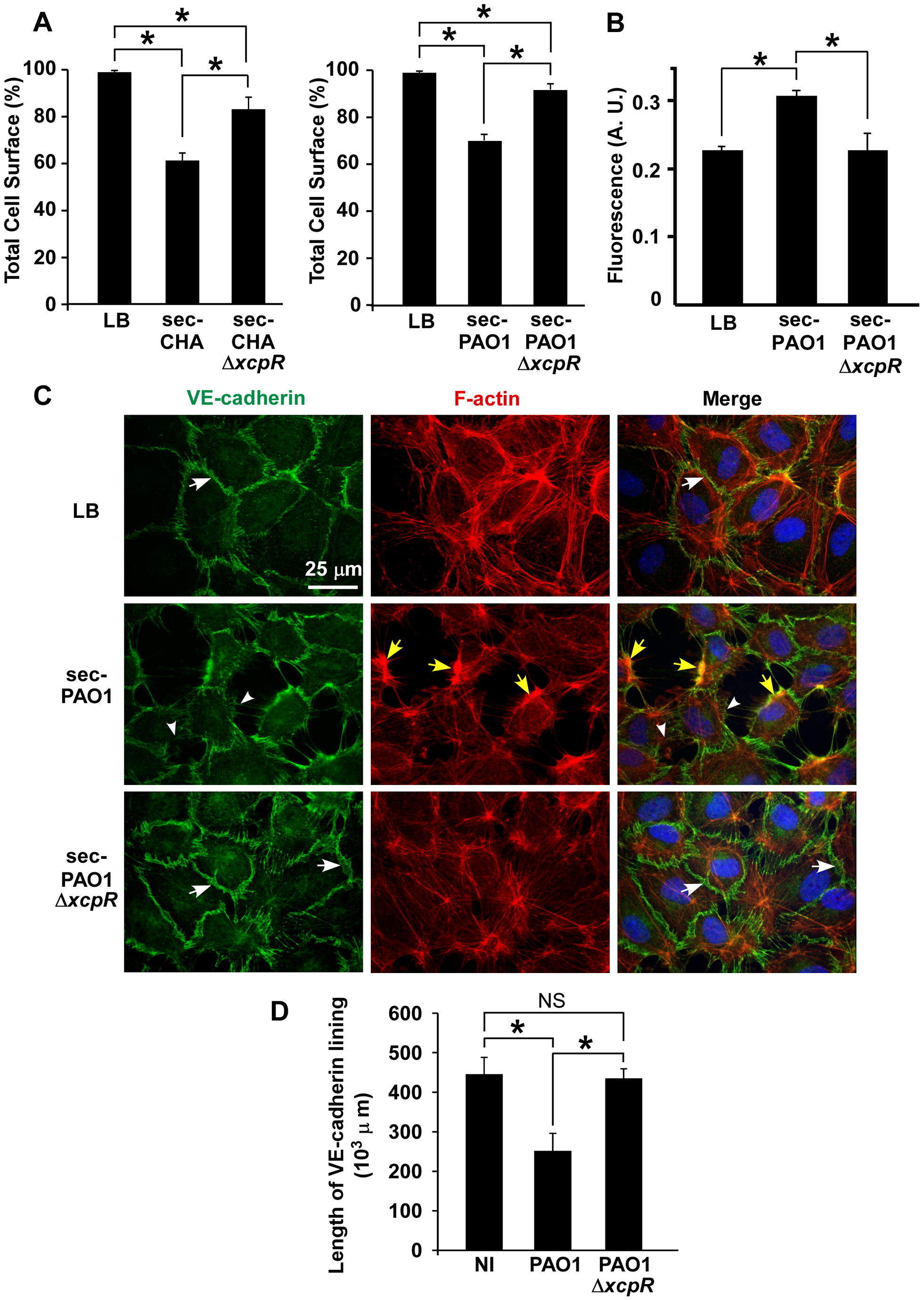 <i>P. aeruginosa</i> type 2 effectors provoke gap formation in endothelial cell monolayer.