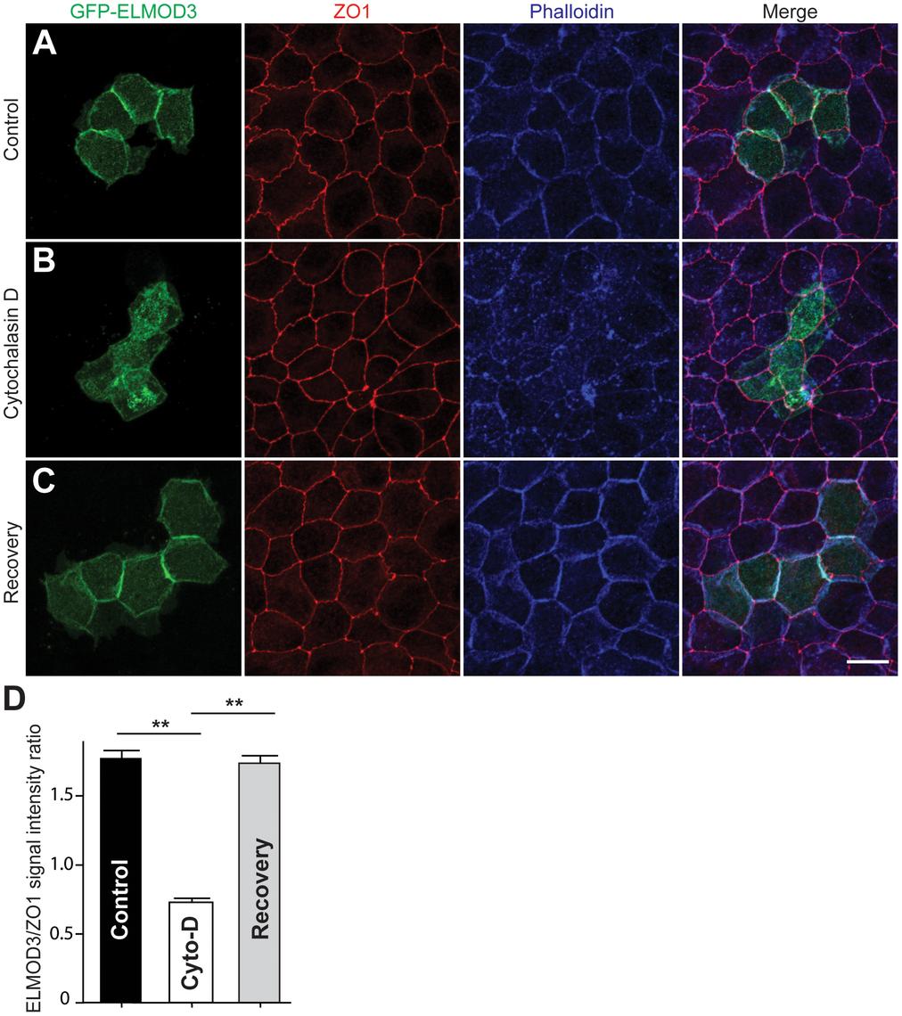 ELMOD3 is linked to the F-actin cytoskeleton.